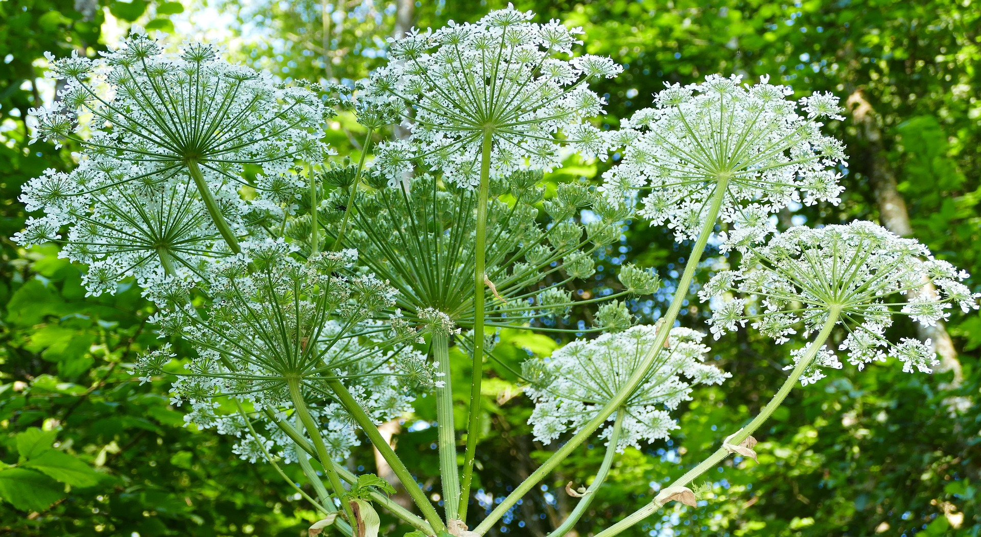 Giant Hog Weed What Is Giant Hogweed? Plant Leaves Teenager With Third