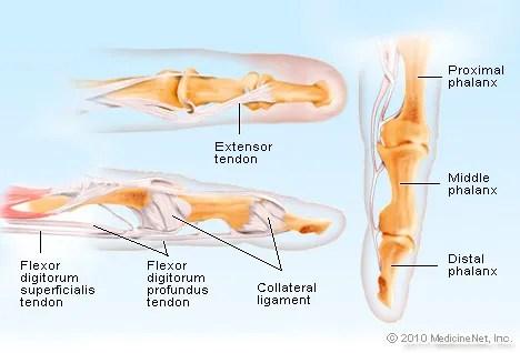 Finger Anatomy Picture Image on MedicineNet