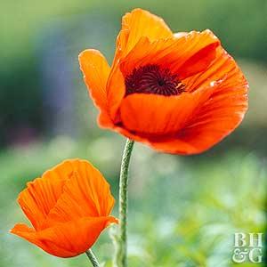 Orange Color Wallpaper Hd Poppy