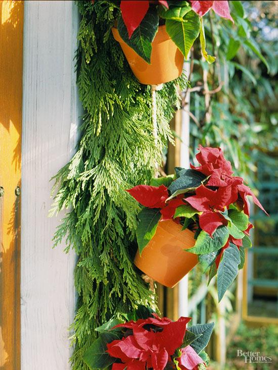How Do I Care For Poinsettias So They Rebloom Next Christmas?