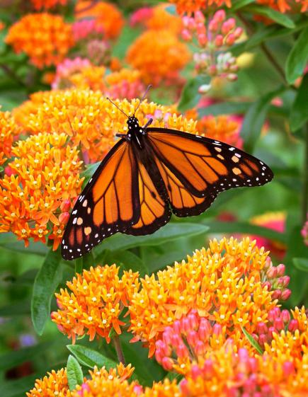 native plants for midwest gardens
