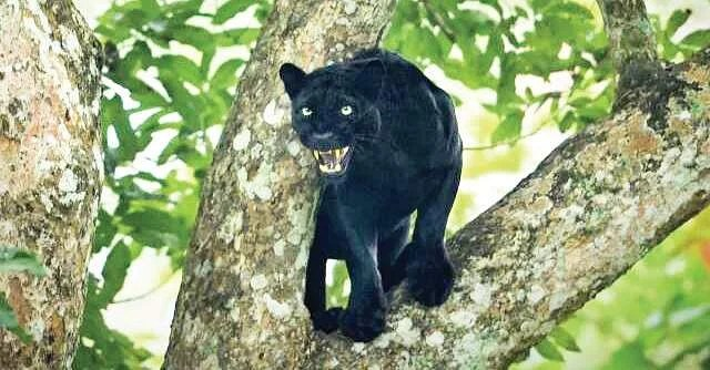 Black Panther Animal Wallpaper Black Panthers Face Threat Of Road Kill In Uk District