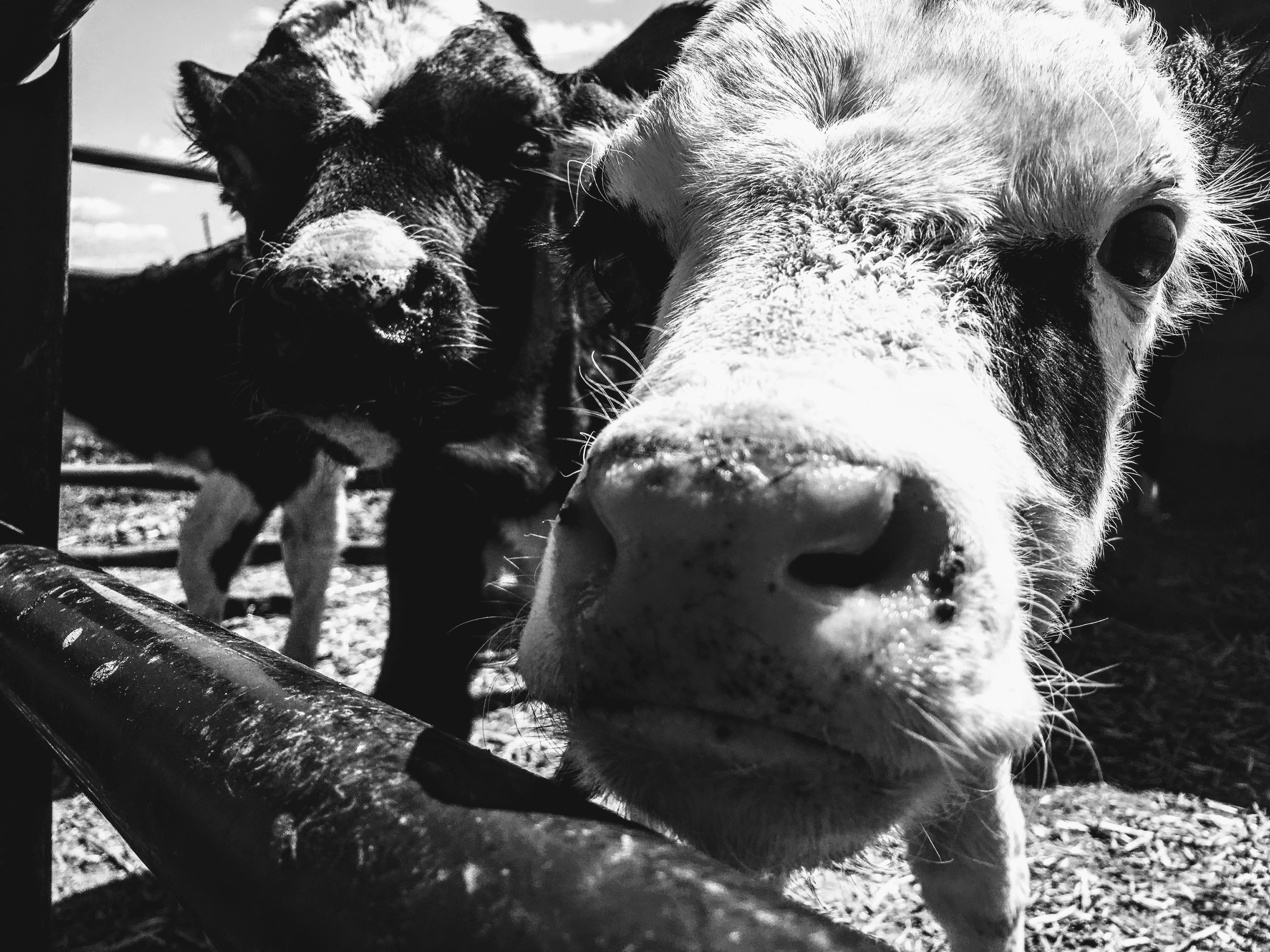 Best Iphone 6s Wallpapers Hd Grayscale Photography Of Cattle 183 Free Stock Photo