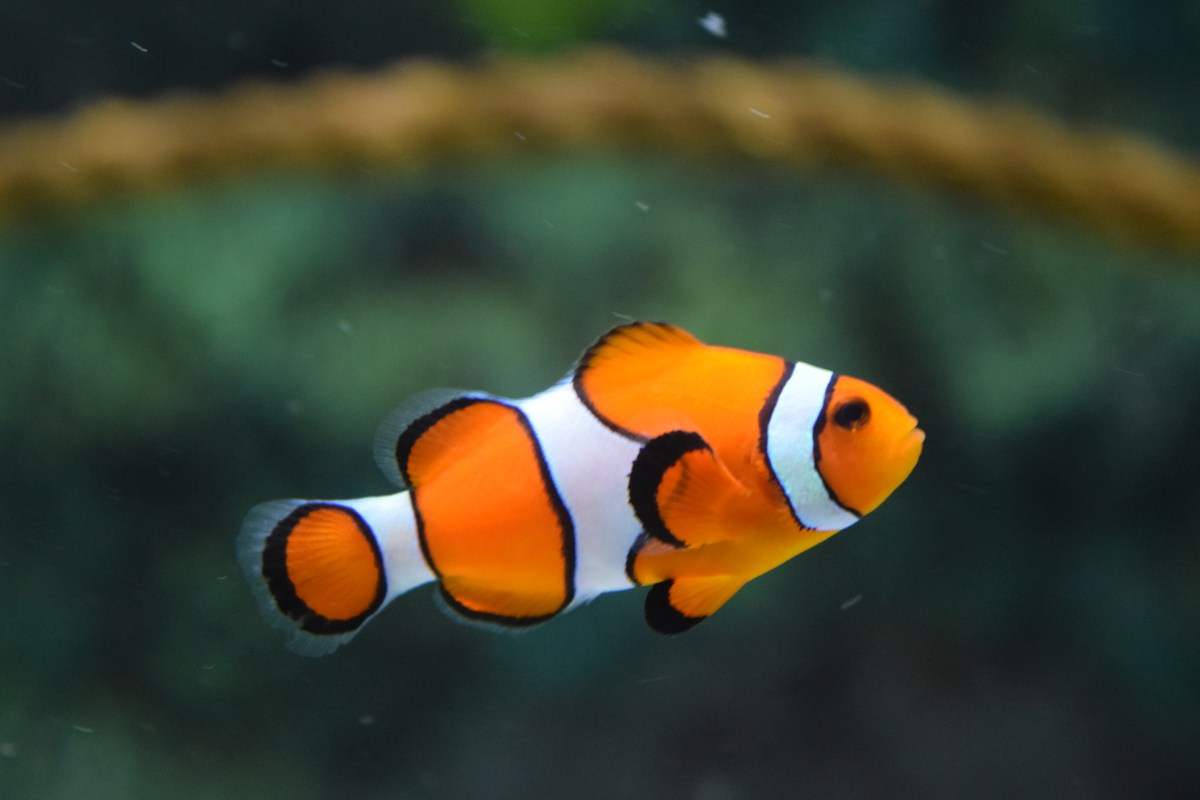 High Definition Animal Wallpapers Clown Fish Swimming 183 Free Stock Photo