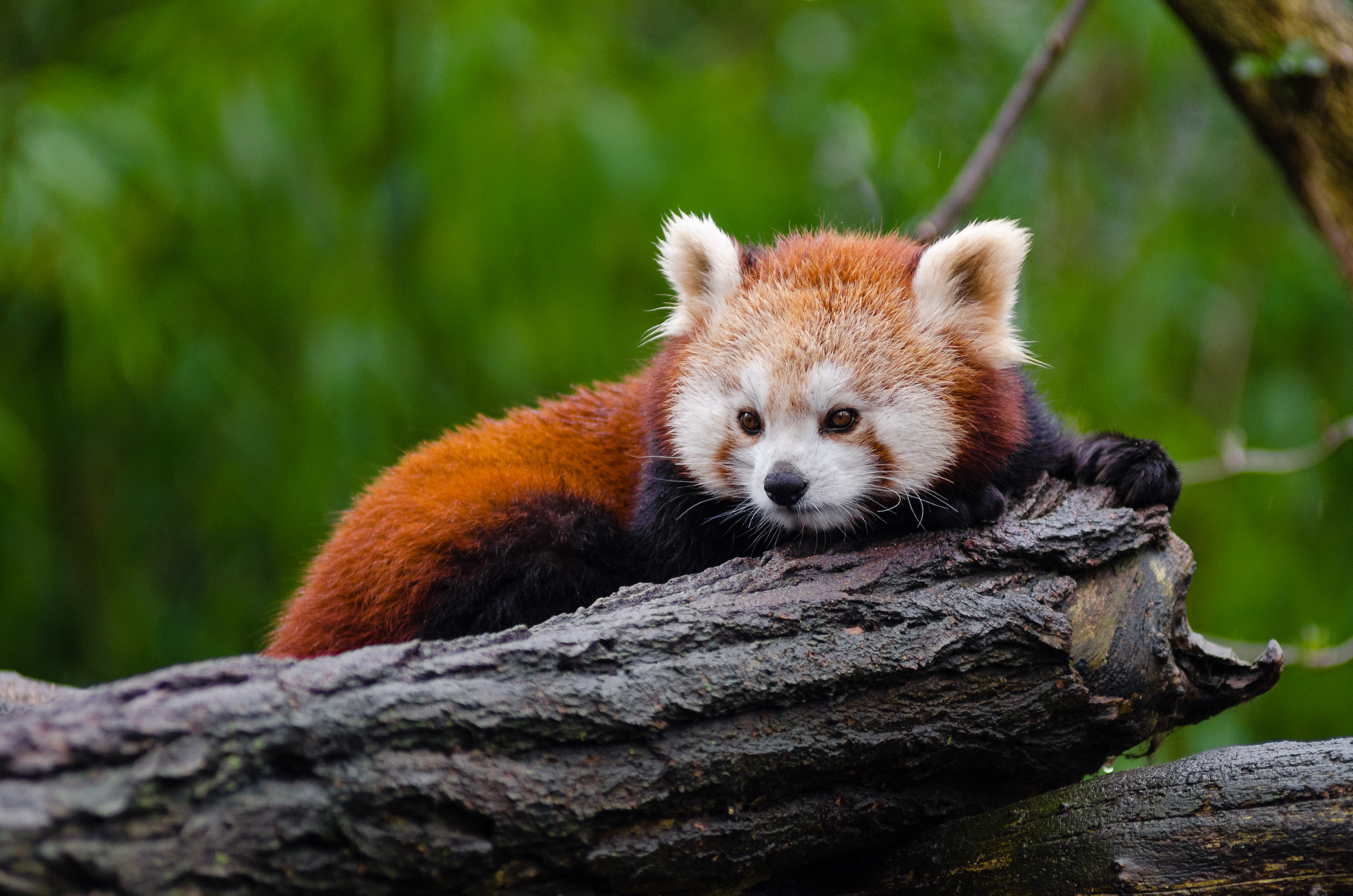 Black Wood Wallpaper Red Pandas 183 Free Stock Photo