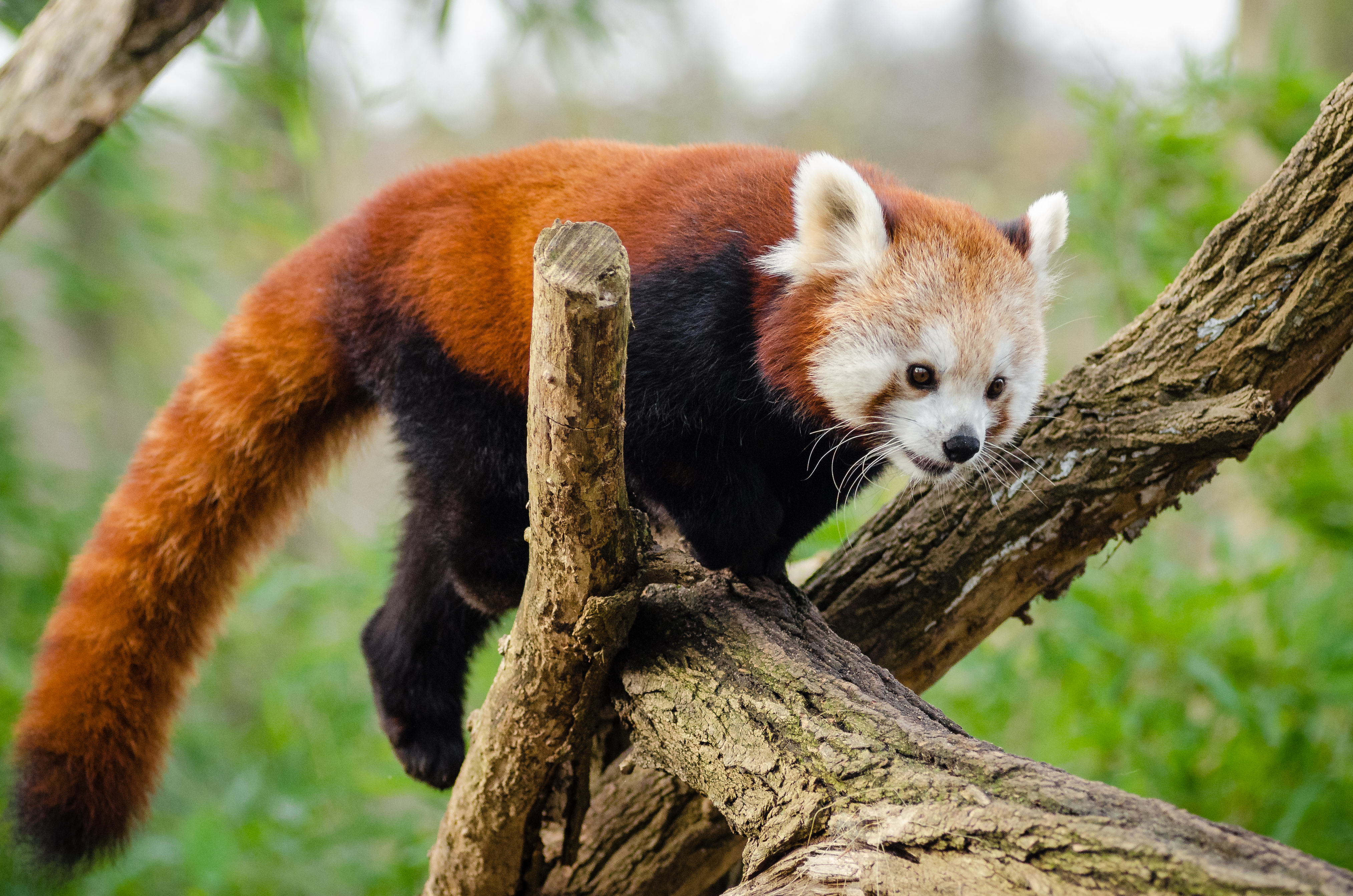 Cute Dog Pictures For Wallpaper Red Panda Sleeping On Tree Branch 183 Free Stock Photo