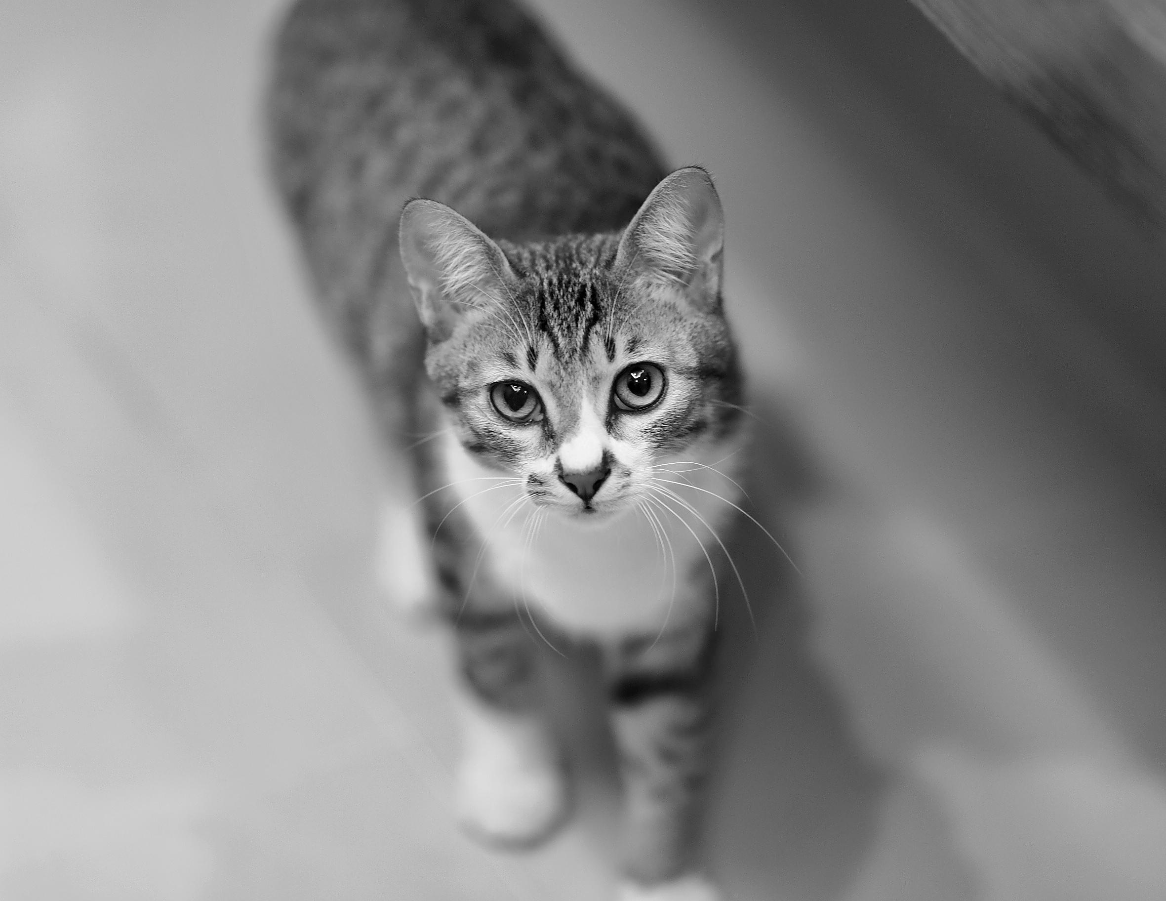 Wallpaper Hd Iphone Cute Grey Tabby Cat 183 Free Stock Photo