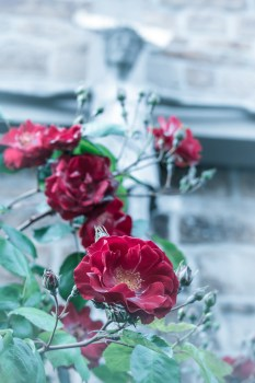 All Car Wallpaper Download Pink Rose Close Up Photography 183 Free Stock Photo