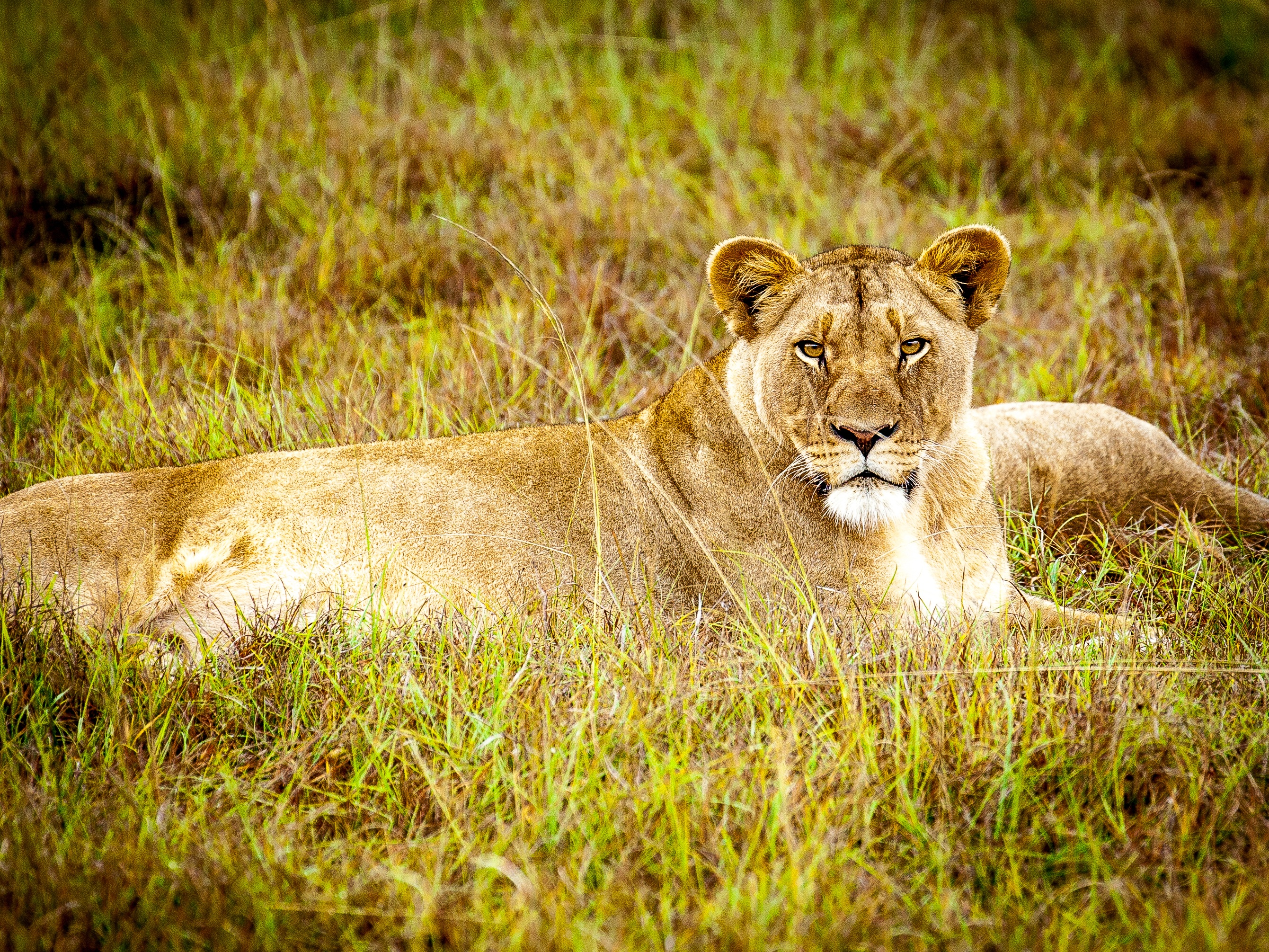 Lion Animal Wallpaper Cougar Animal 183 Free Stock Photo