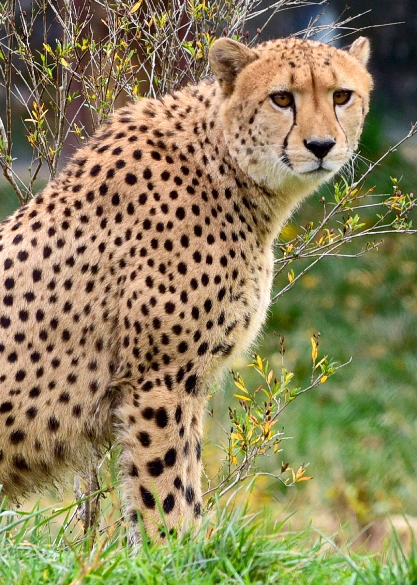 Safari Animal Wallpaper Adult Cheetah 183 Free Stock Photo