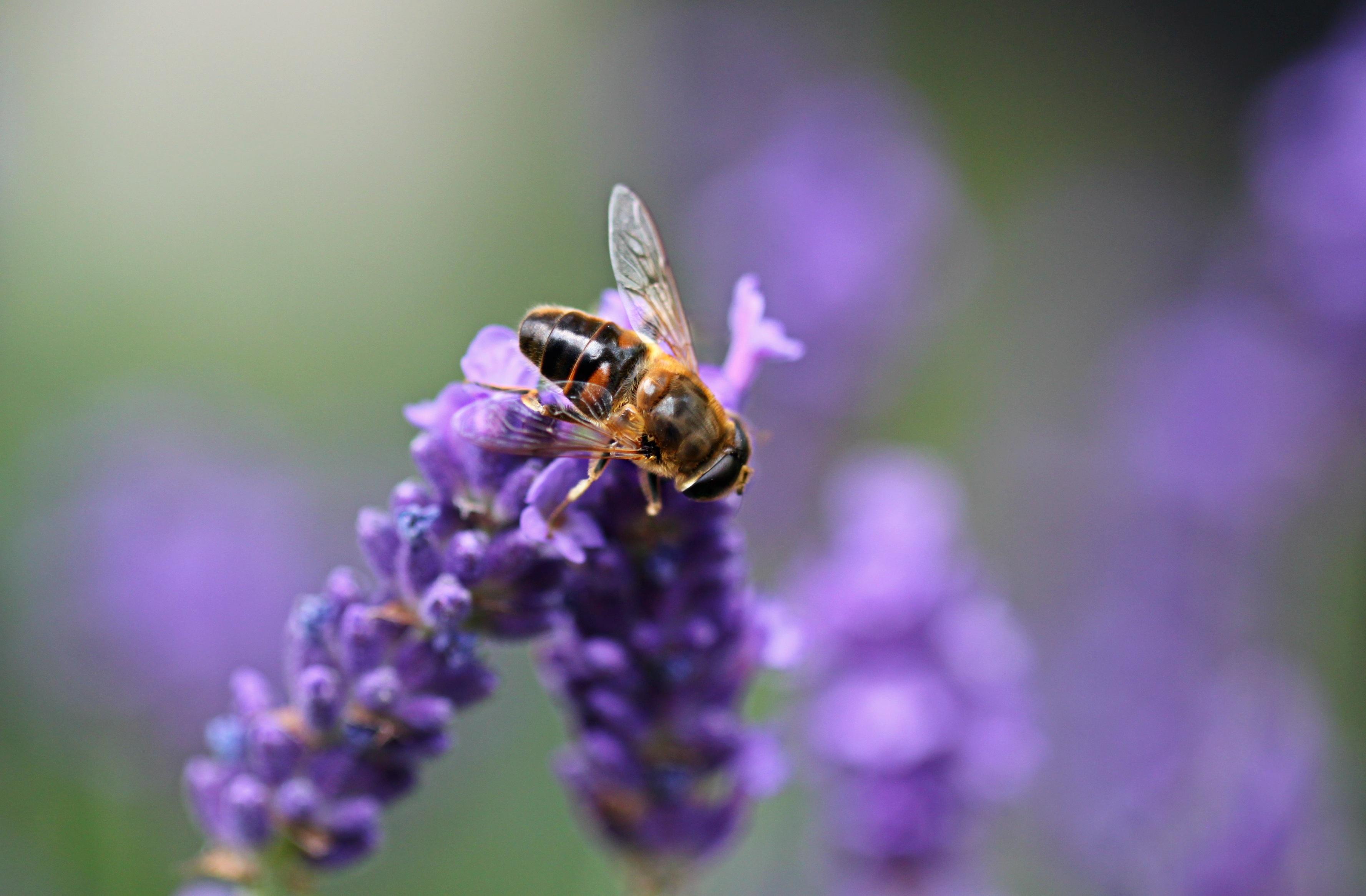 Hd Lavender Wallpaper Bee On Purple Lavender 183 Free Stock Photo