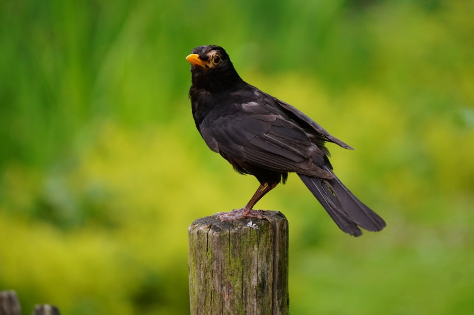 Cute Red Color Wallpaper Black Bird Perched On Brown Wooden Pedestal Closeup