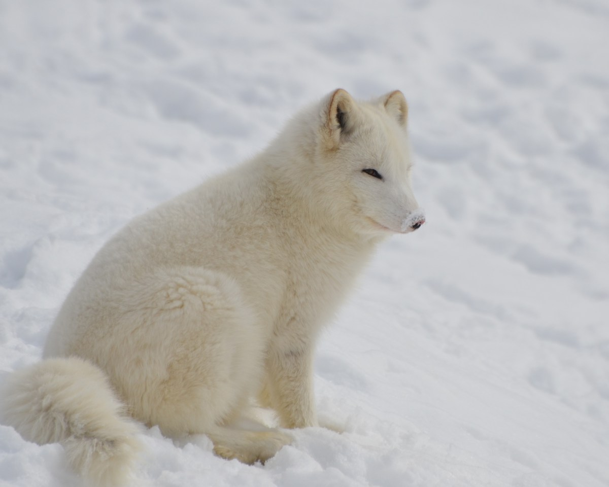 High Definition Animal Wallpapers White Short Fur 4 Legged Animal On Bed Of Snow During