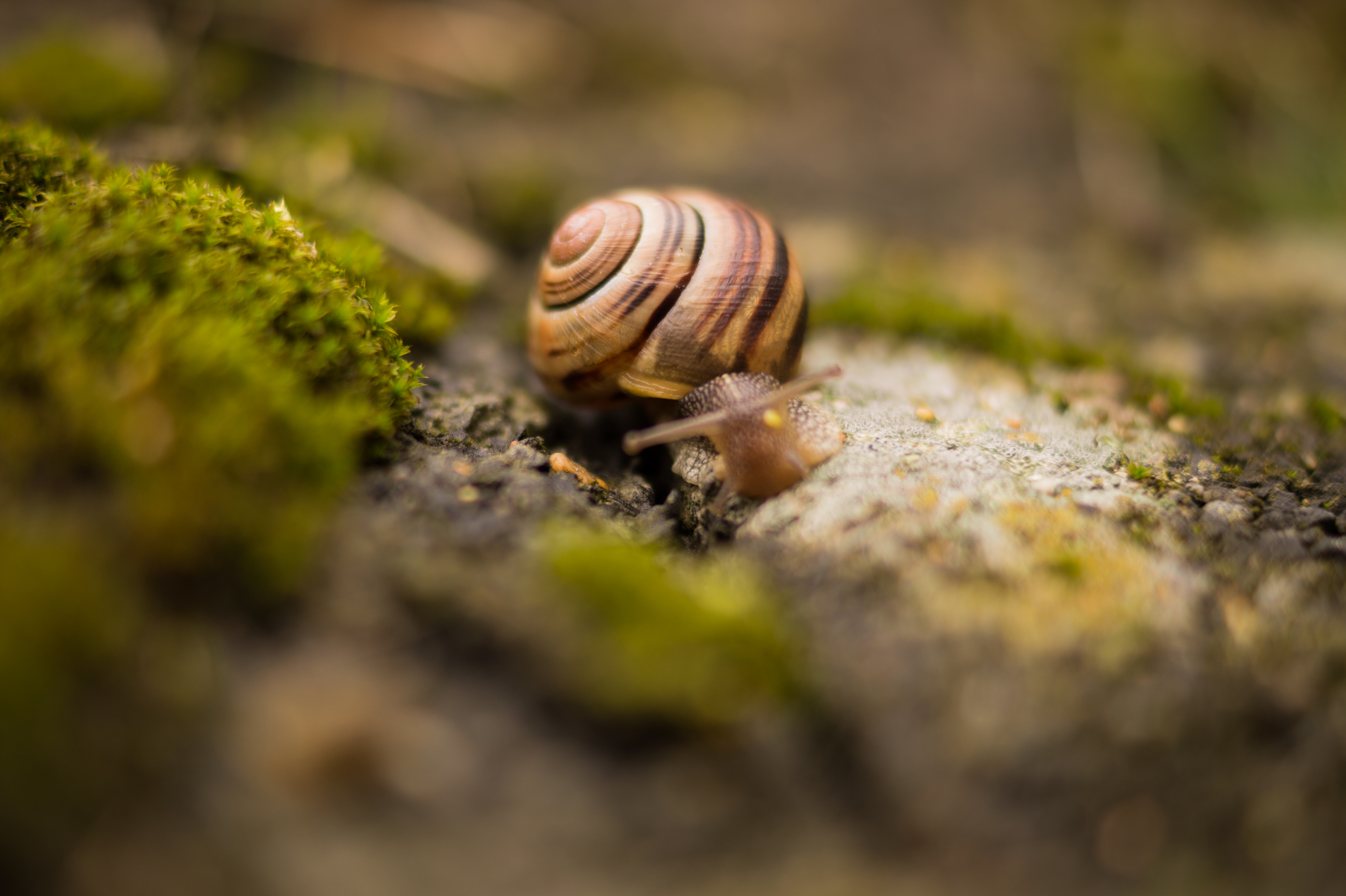 Forest Animal Wallpaper Brown Snail 183 Free Stock Photo