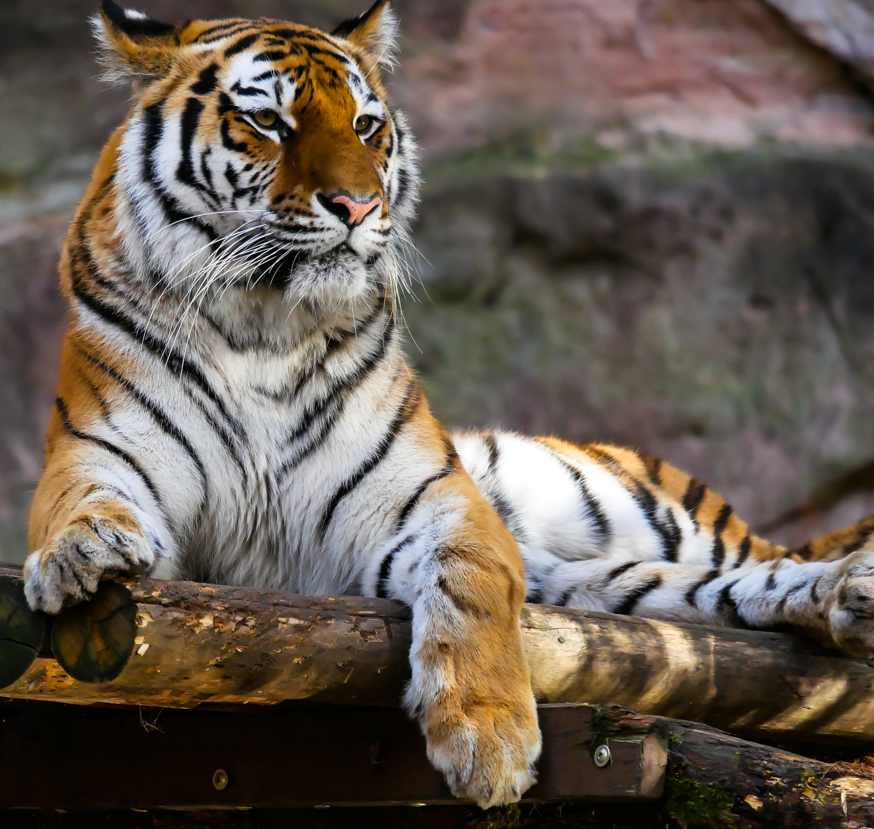 Jungle Wallpaper With Animals Tiger Sitting On Brown Logs Closeup Photography 183 Free
