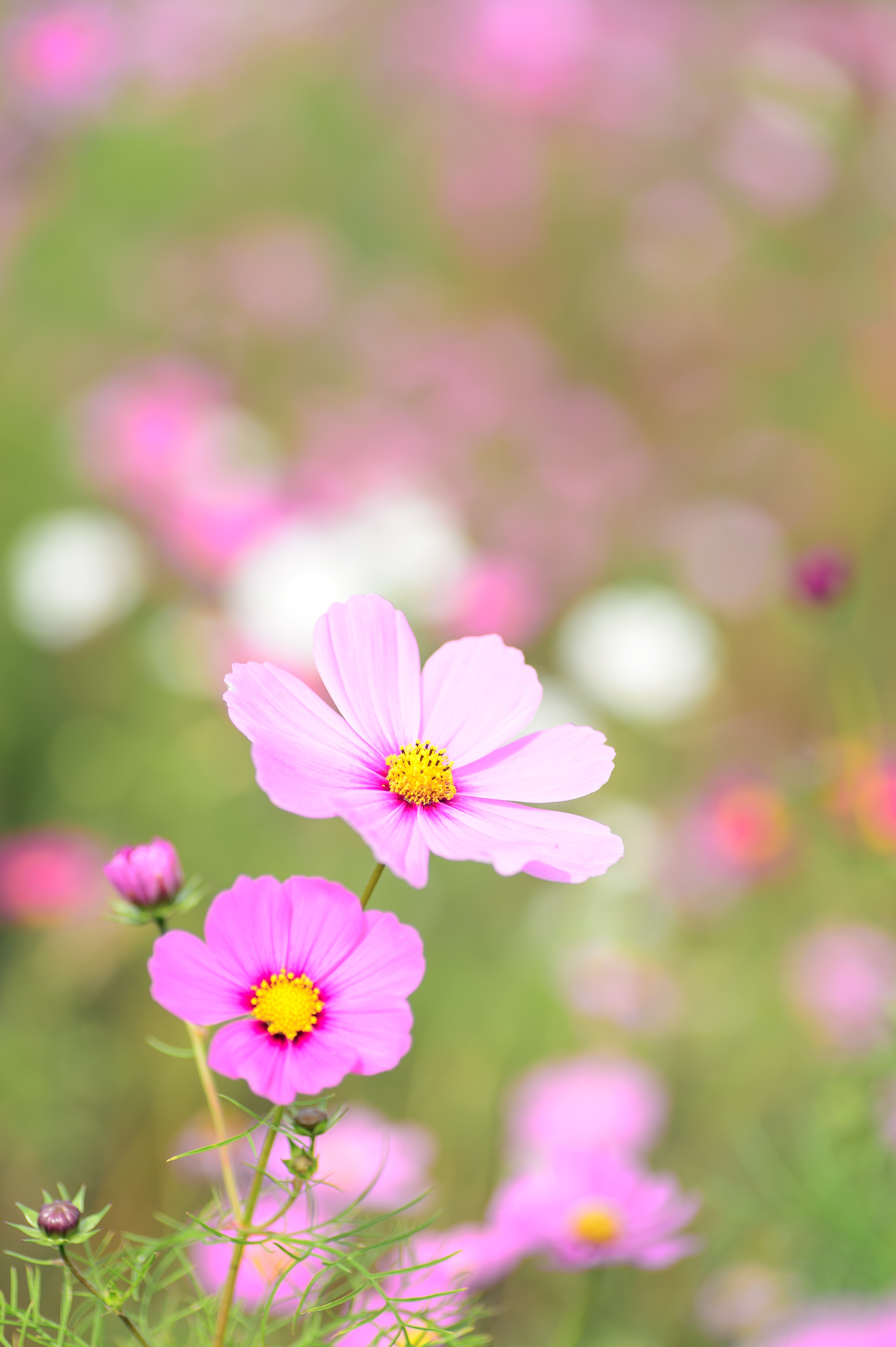 Free Download Car Wallpapers For Desktop Nature Photography Of Focus Pink Petaled Flower 183 Free