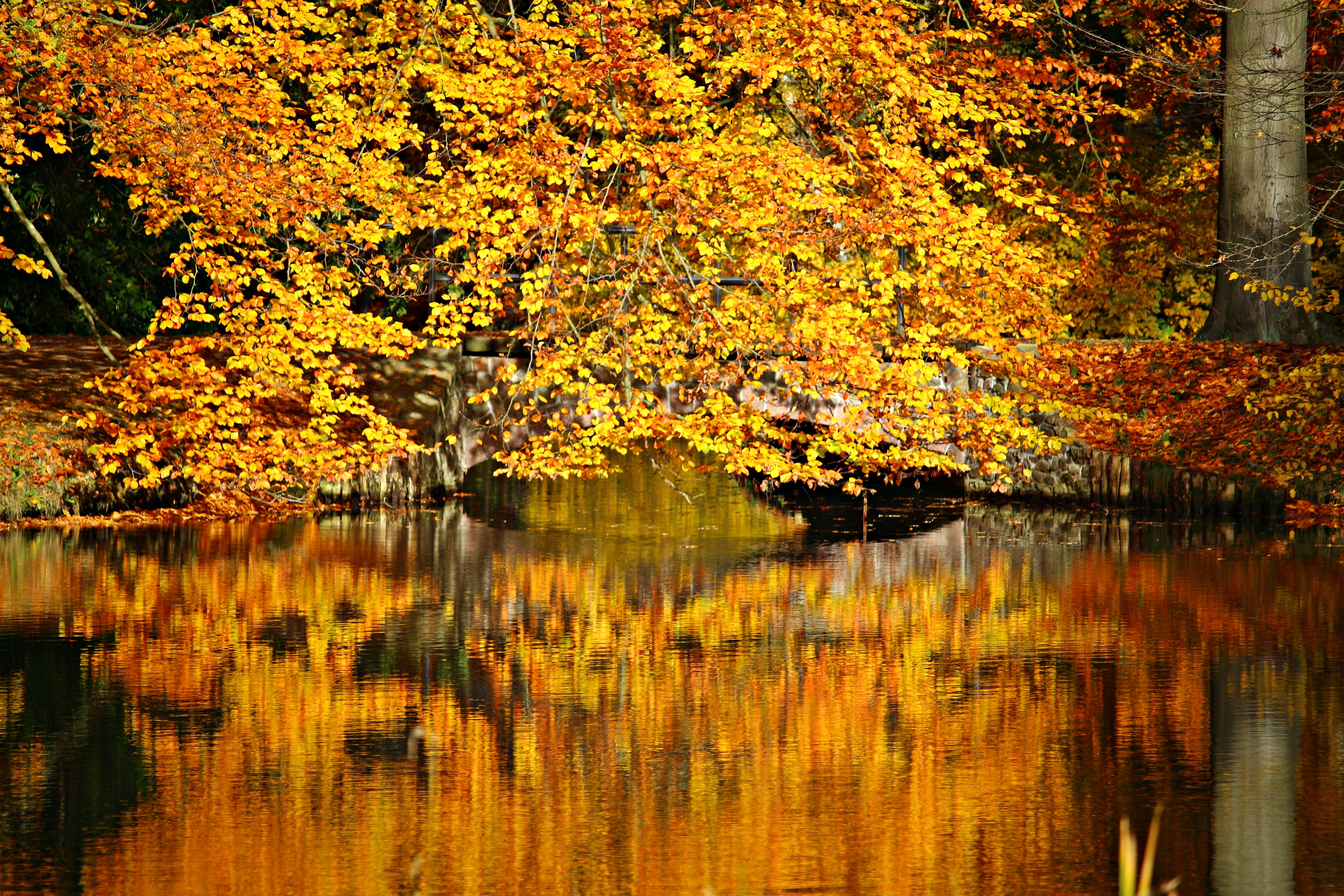 Japan Fall Colors Wallpaper Maple Tree And Body Of Water Photo 183 Free Stock Photo