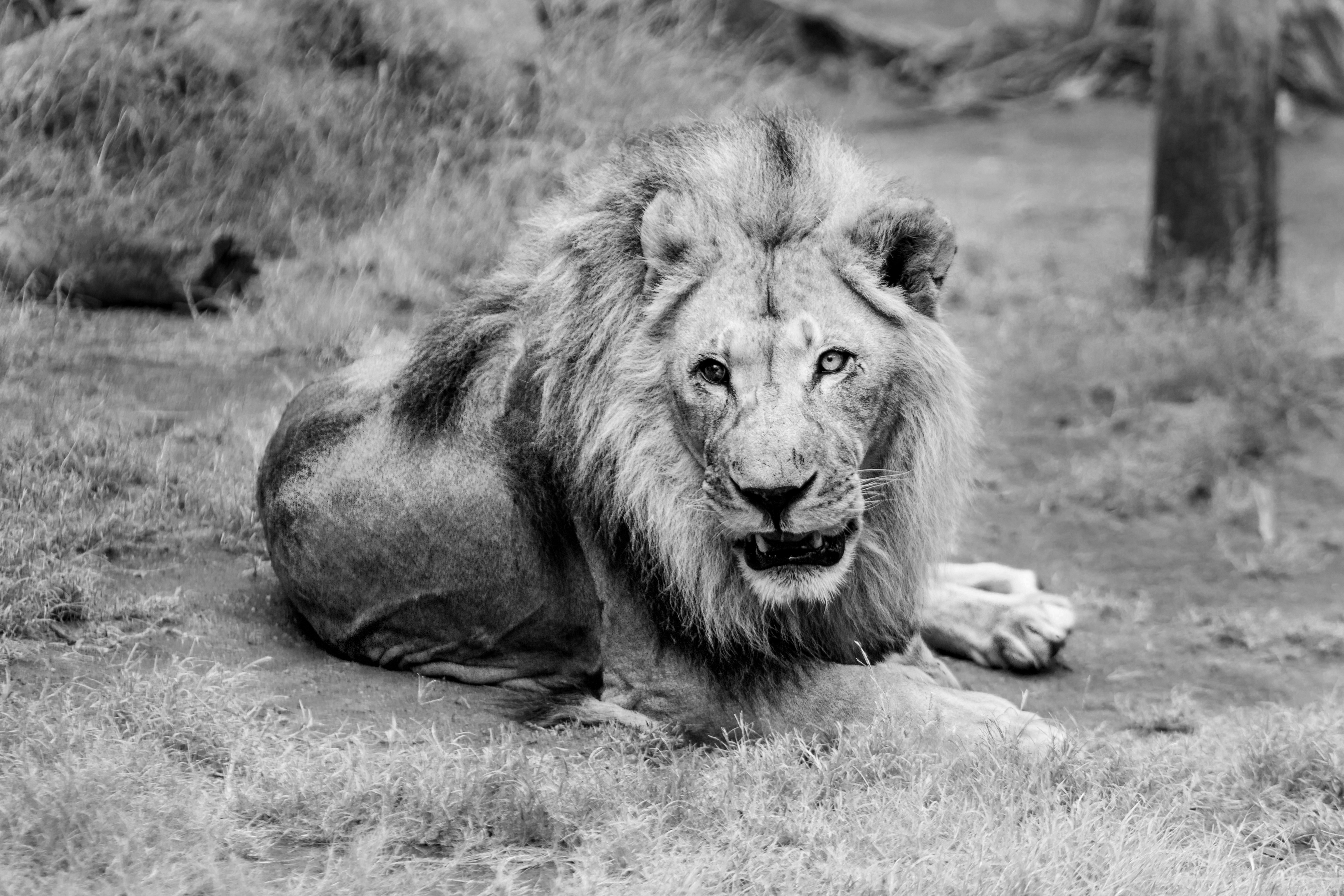 Quotes Wallpaper Hd Black And White Lion Photograph 183 Free Stock Photo
