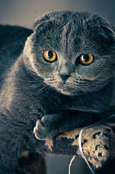 Black Cat Eyes Wallpaper Free Stock Photo Of Animal Cat Eyes