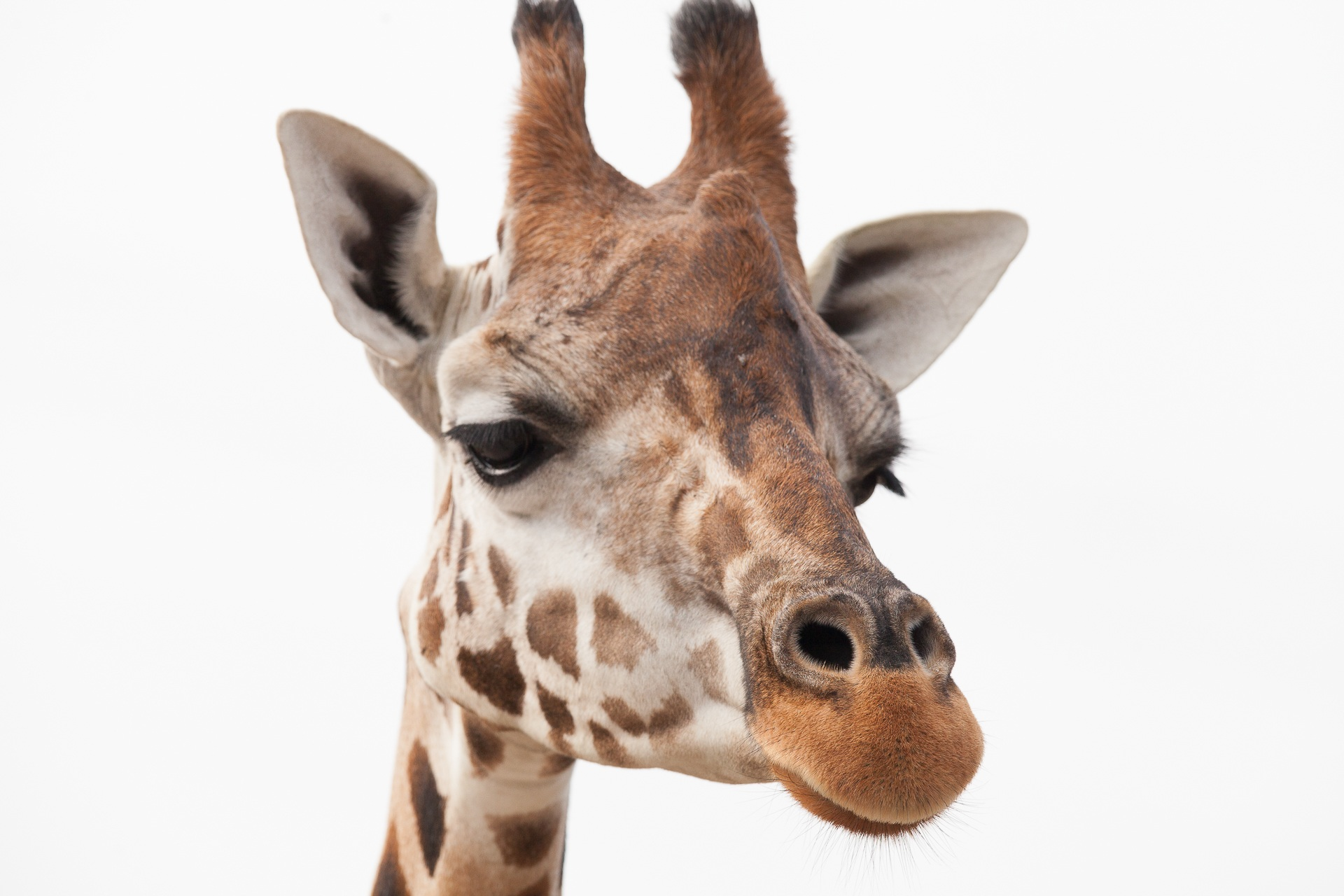 Cool Iphone 7 Wallpapers Free Stock Photo Of Africa Animal Giraffe