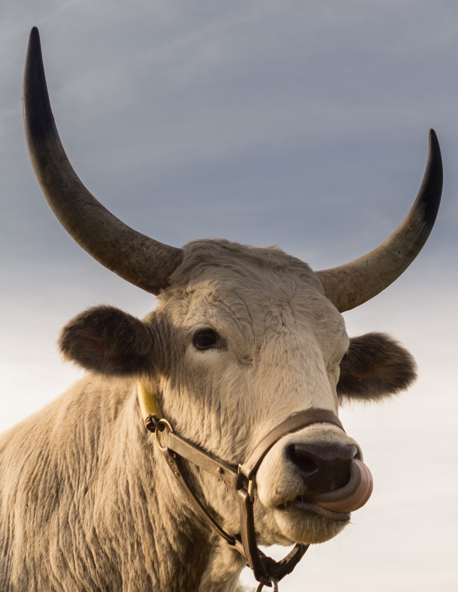High Definition Animal Wallpapers Free Stock Photo Of Animal Bull Cow