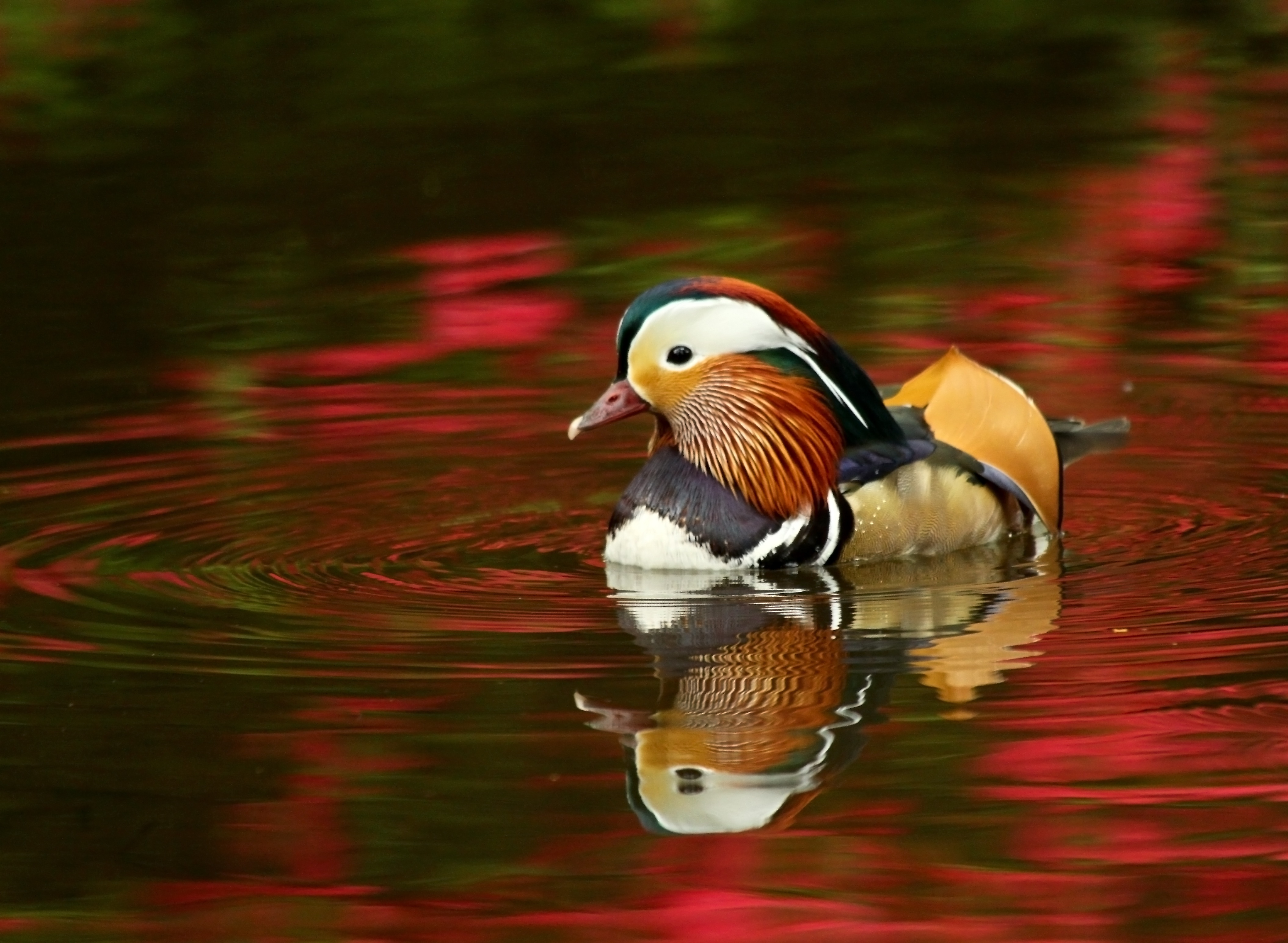 Animals Wallpapers For Mobile Free Download Free Stock Photo Of Animals Drake Ducks