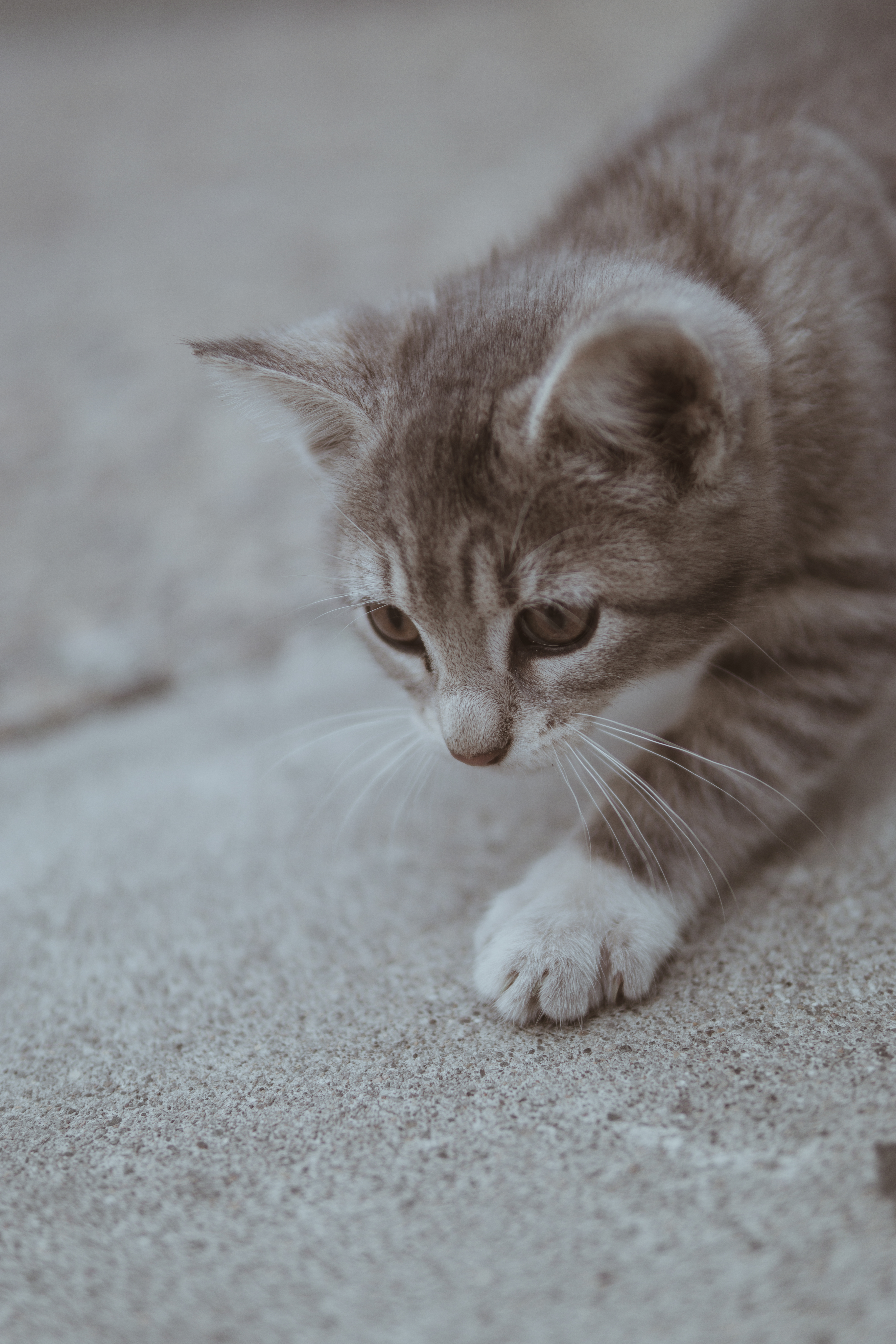 Cute Animal Wallpapers Free Grayscale Photo Of Short Furred Medium Size Cat On The