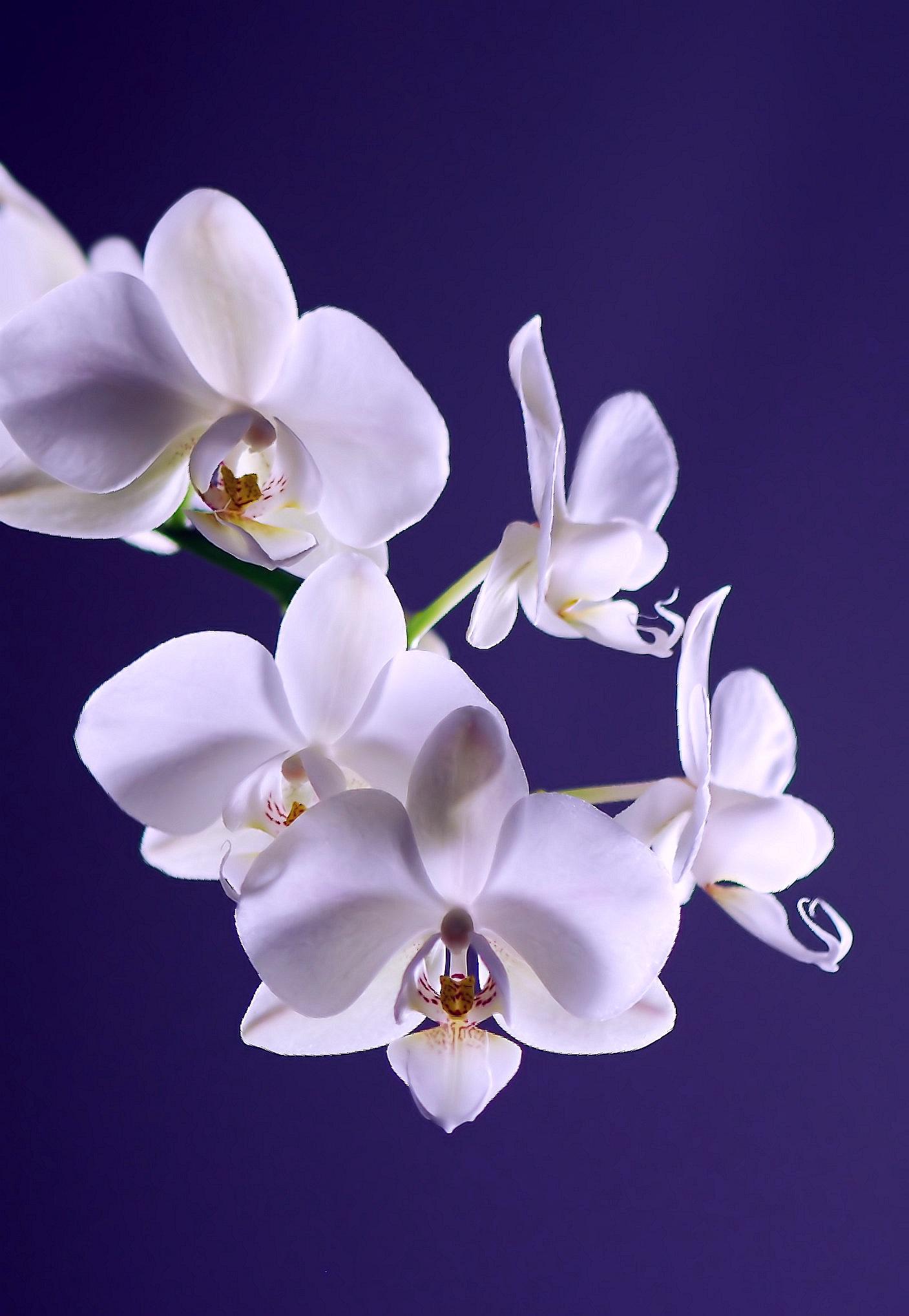 Black Rose Iphone Wallpaper 50 Beautiful Orchid Photos 183 Pexels 183 Free Stock Photos