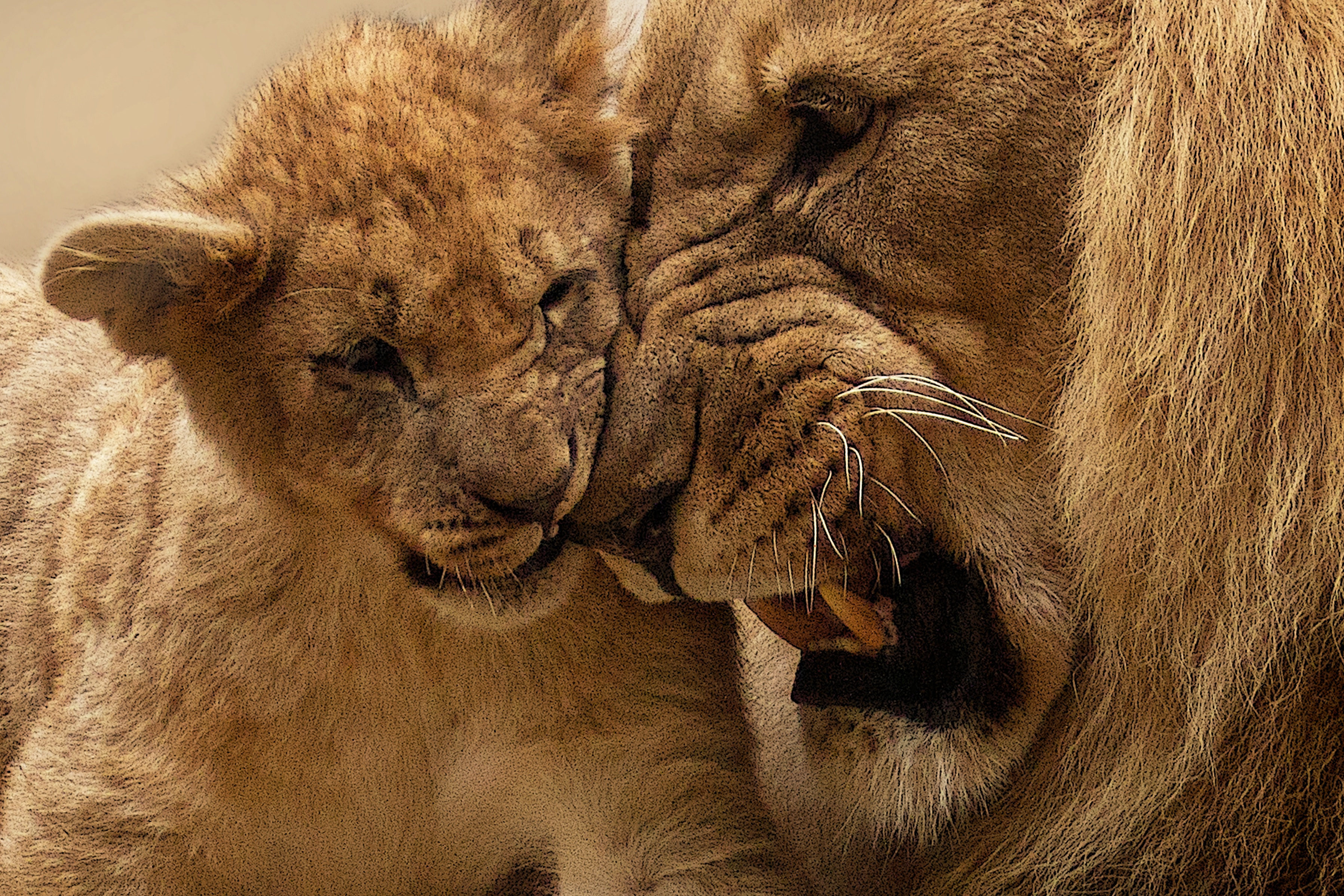 Download Cute Wallpapers For Facebook Close Up Portrait Of Lion 183 Free Stock Photo