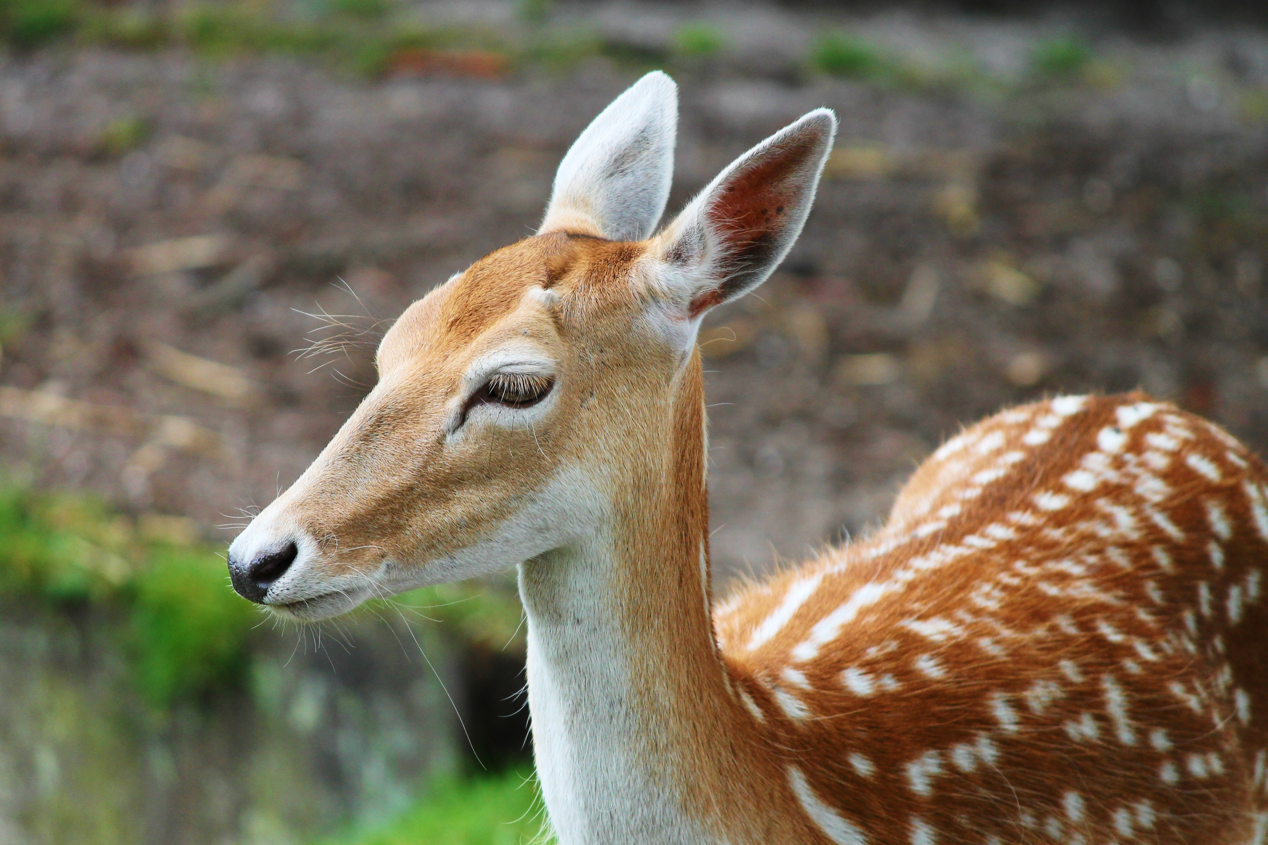 Download Cute Baby Wallpapers Free Brown And Gray Deer 183 Free Stock Photo