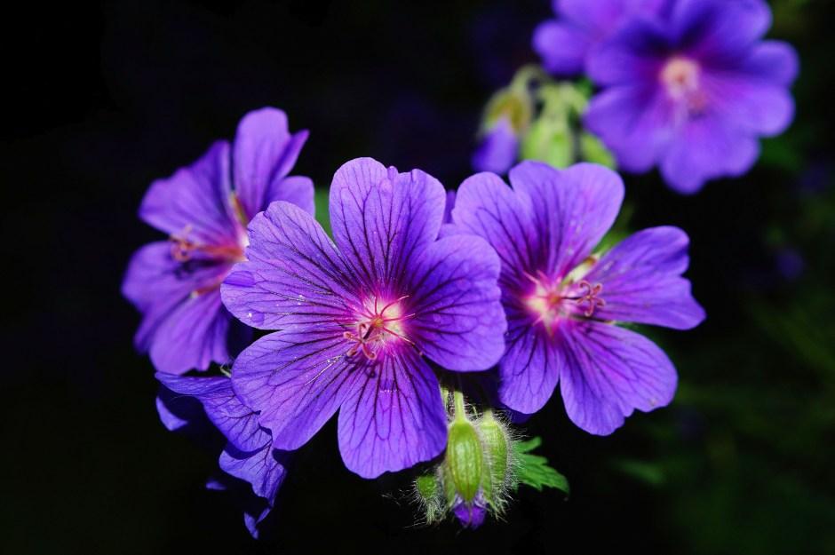 Black Dog Wallpaper Purple 5 Petaled Flower Close Up Photography 183 Free Stock
