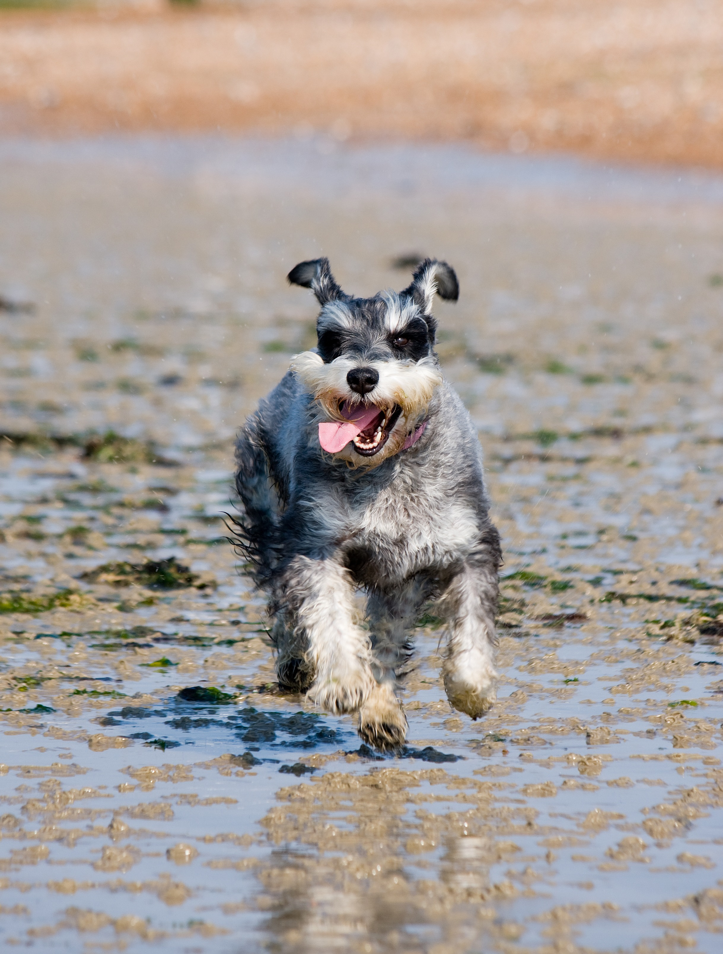 Cute Dog Pictures For Wallpaper Salt And Pepper Miniature Schnauzer Running On Wet Sand