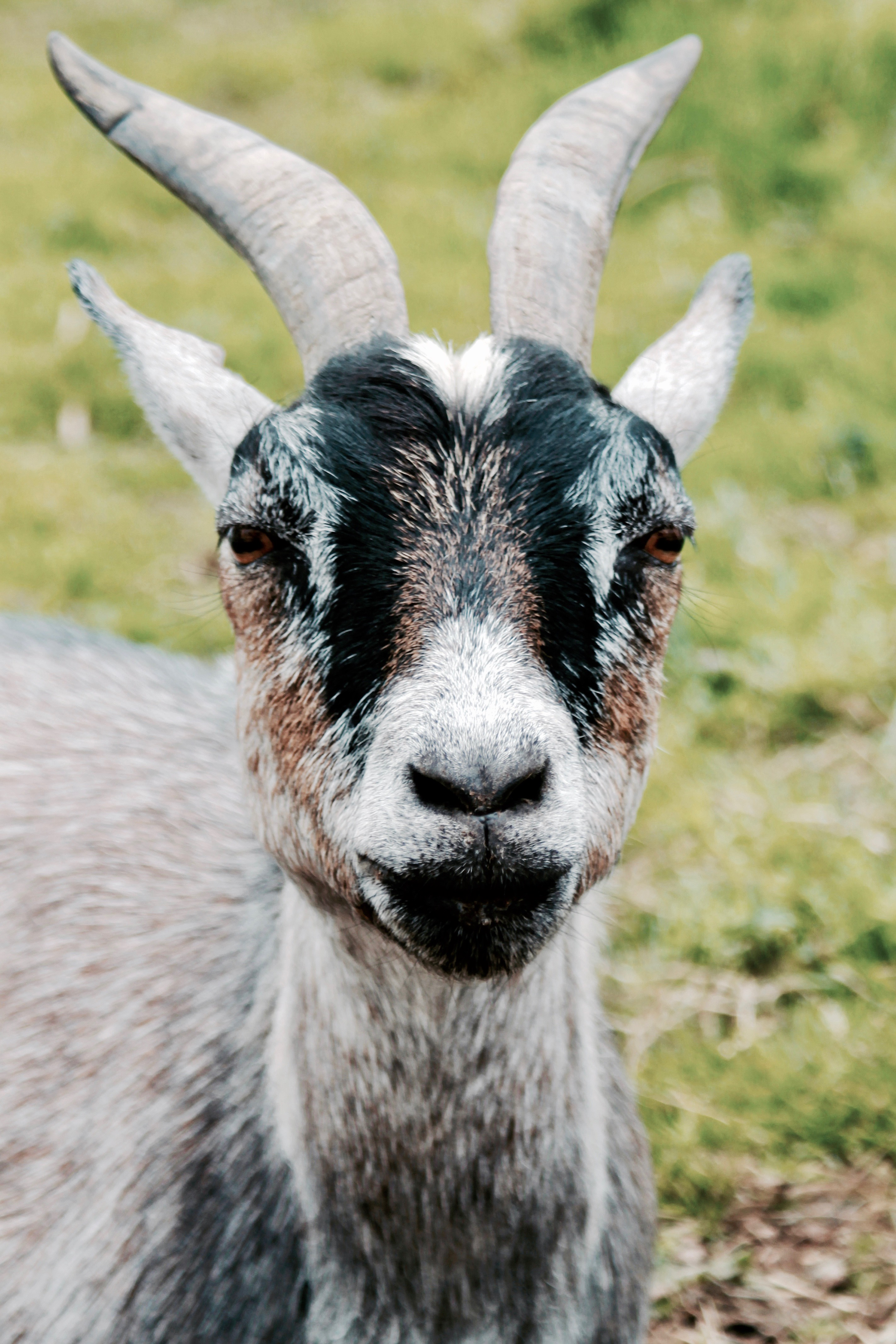 Beautiful Animal Pictures Wallpaper Brown Ram Goat 183 Free Stock Photo