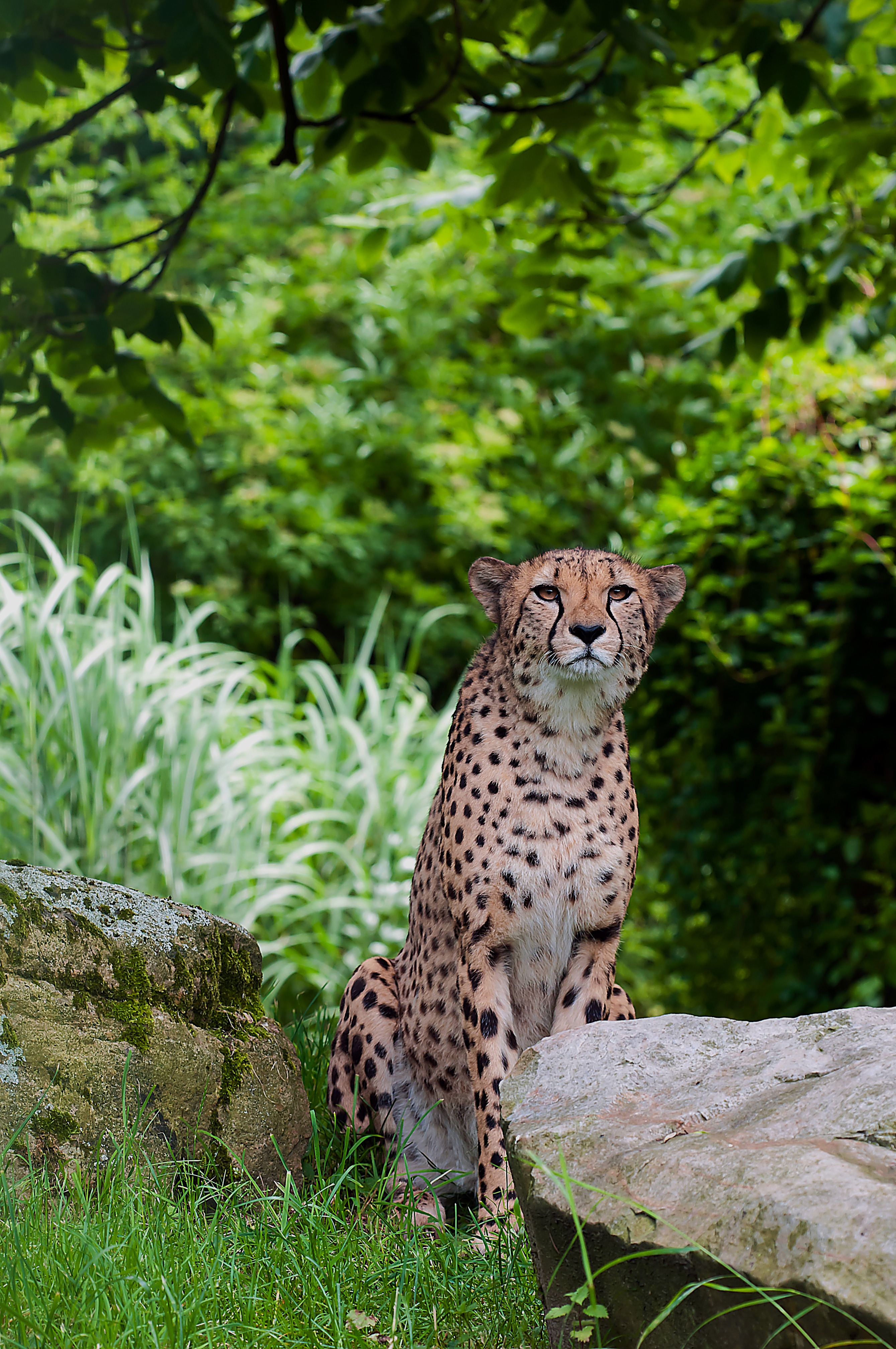 Hd Nature Wallpapers For Windows 7 Free Download Adult Cheetah 183 Free Stock Photo