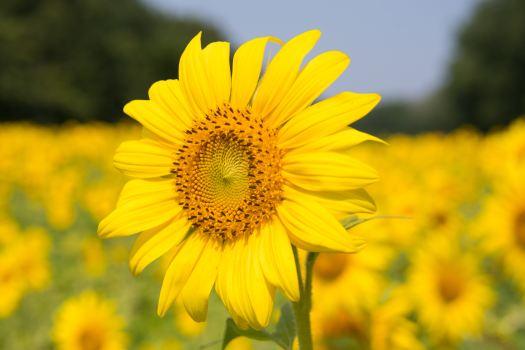 Fall Sunflower Desktop Wallpaper Blossoming Images Of Sunflowers 183 Pexels 183 Free Stock Photos
