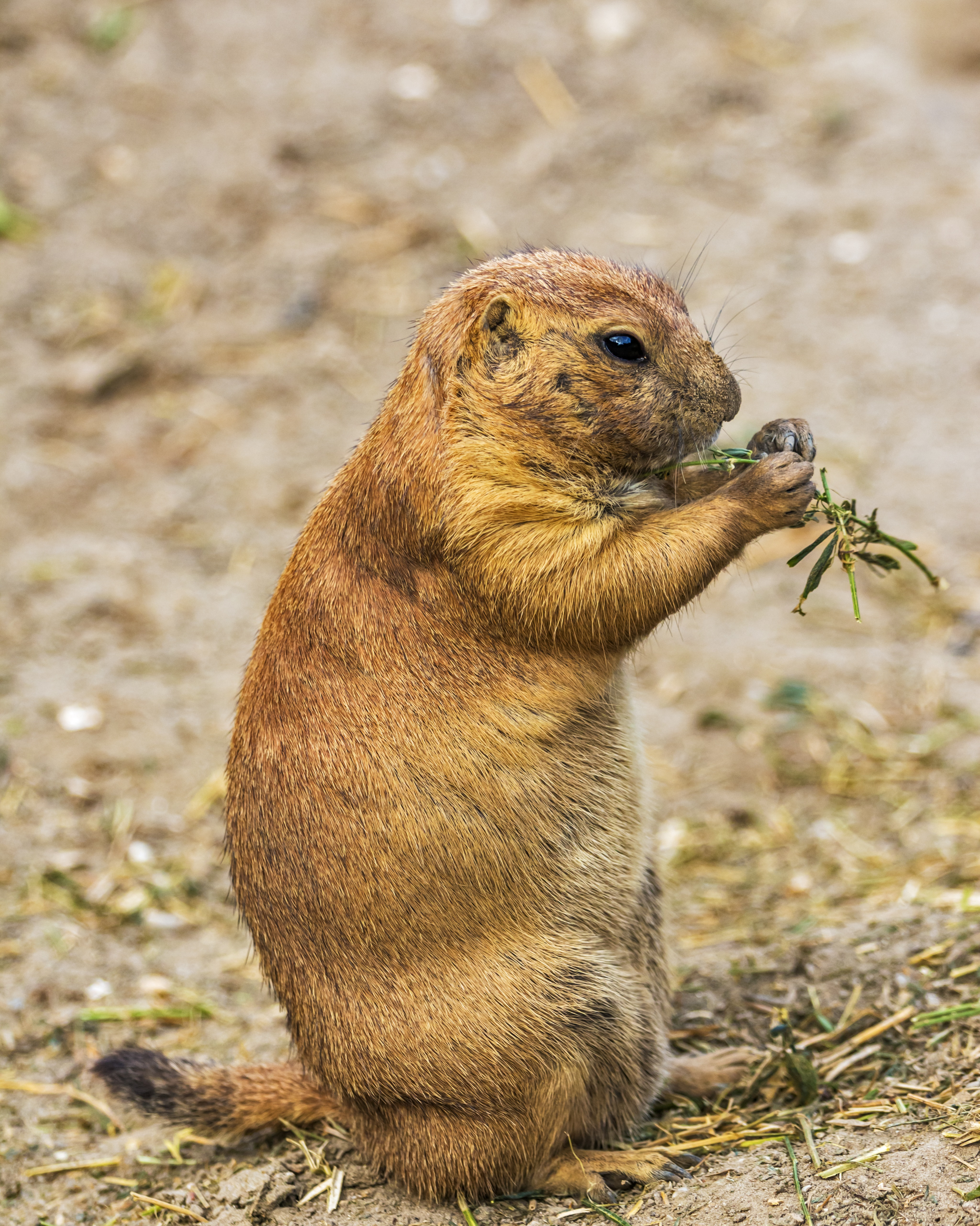 Wallpapers Hd Iphone 5 Free Stock Photo Of Animals Prairie Dogs Rodents