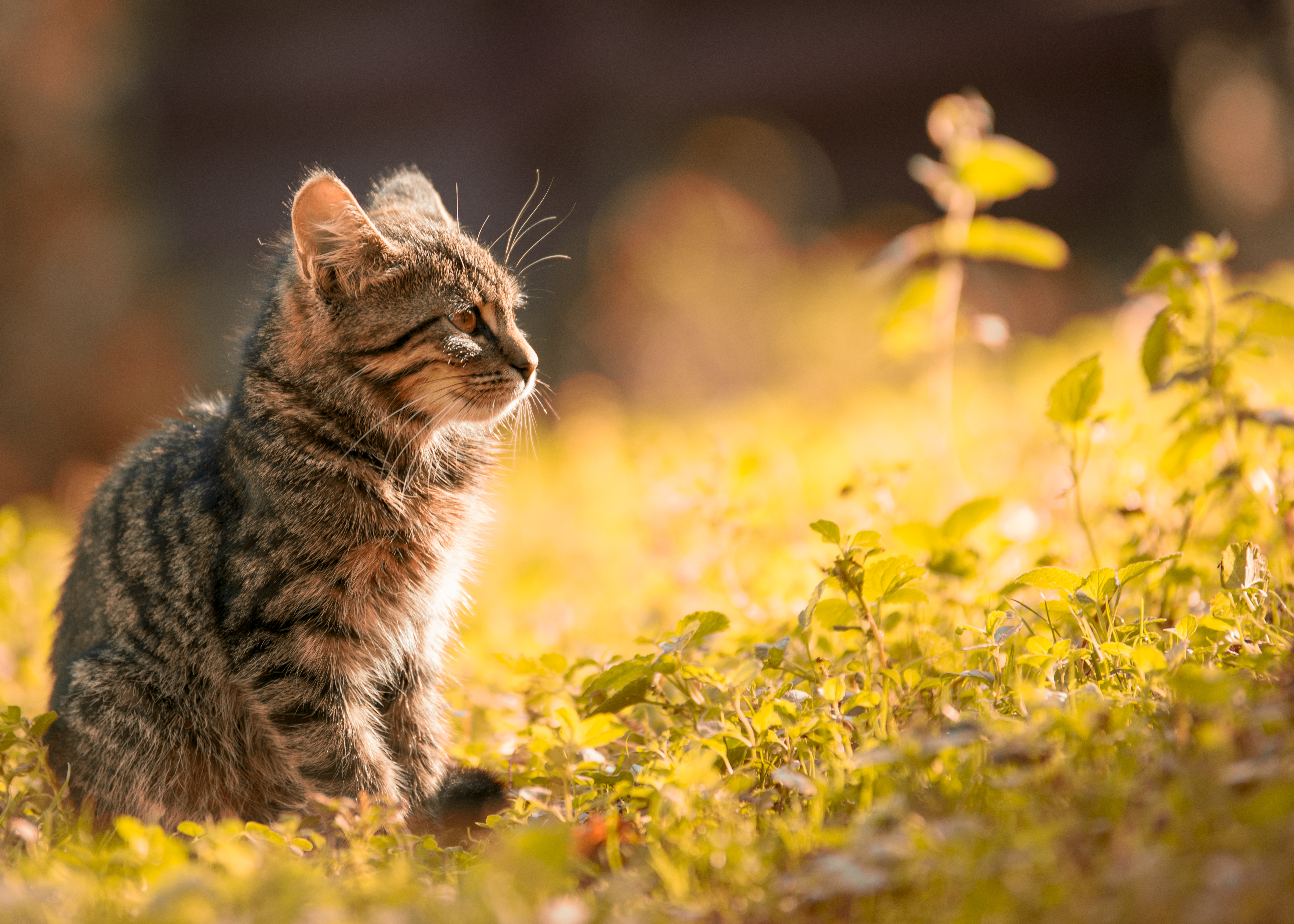 Cute Animal Wallpapers Free Tabby Kitten Sitting On The Grass 183 Free Stock Photo