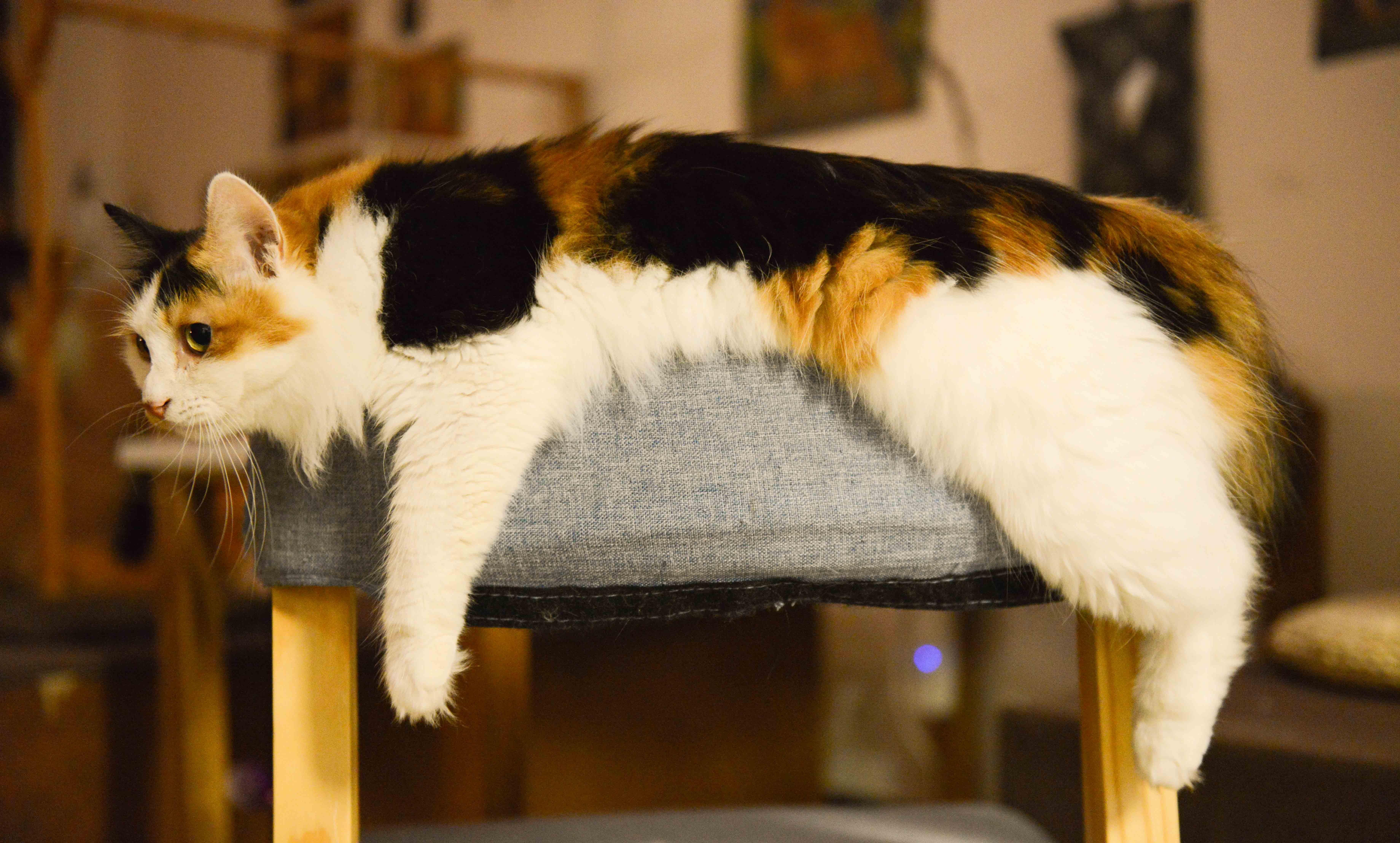 Black And Gray Wallpaper Himalayan Cat Sitting On Orange Sofa Chair During Daytime