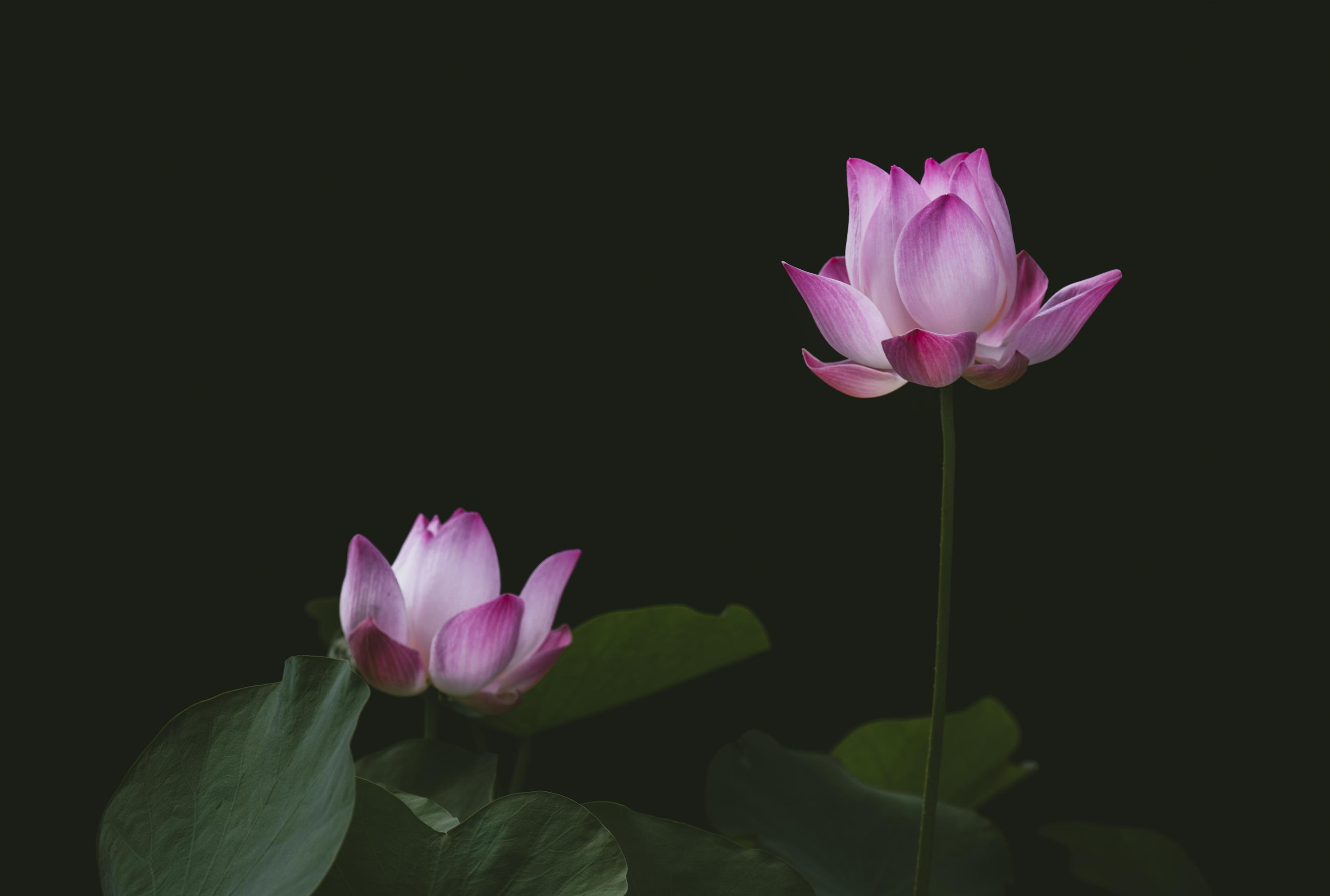 Hong Kong Wallpaper Iphone X Free Stock Photo Of Aquatic Bloom Blooming