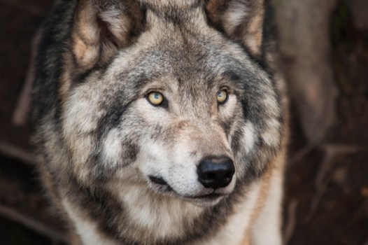 Black And White Animal Wallpaper Gray And White Wolf 183 Free Stock Photo