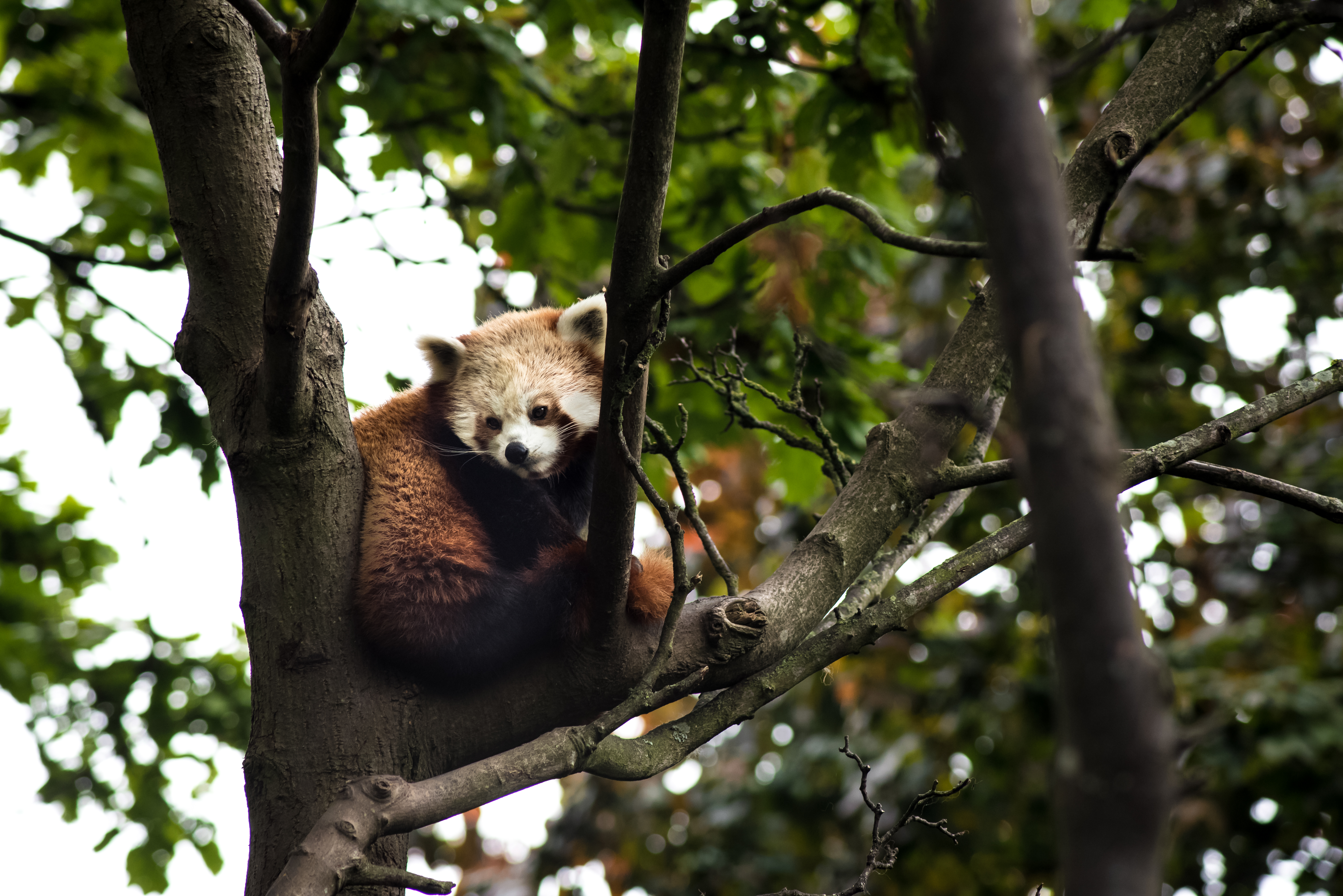 Hd Cute Panda Wallpaper Red Panda Sleeping On Tree Branch 183 Free Stock Photo