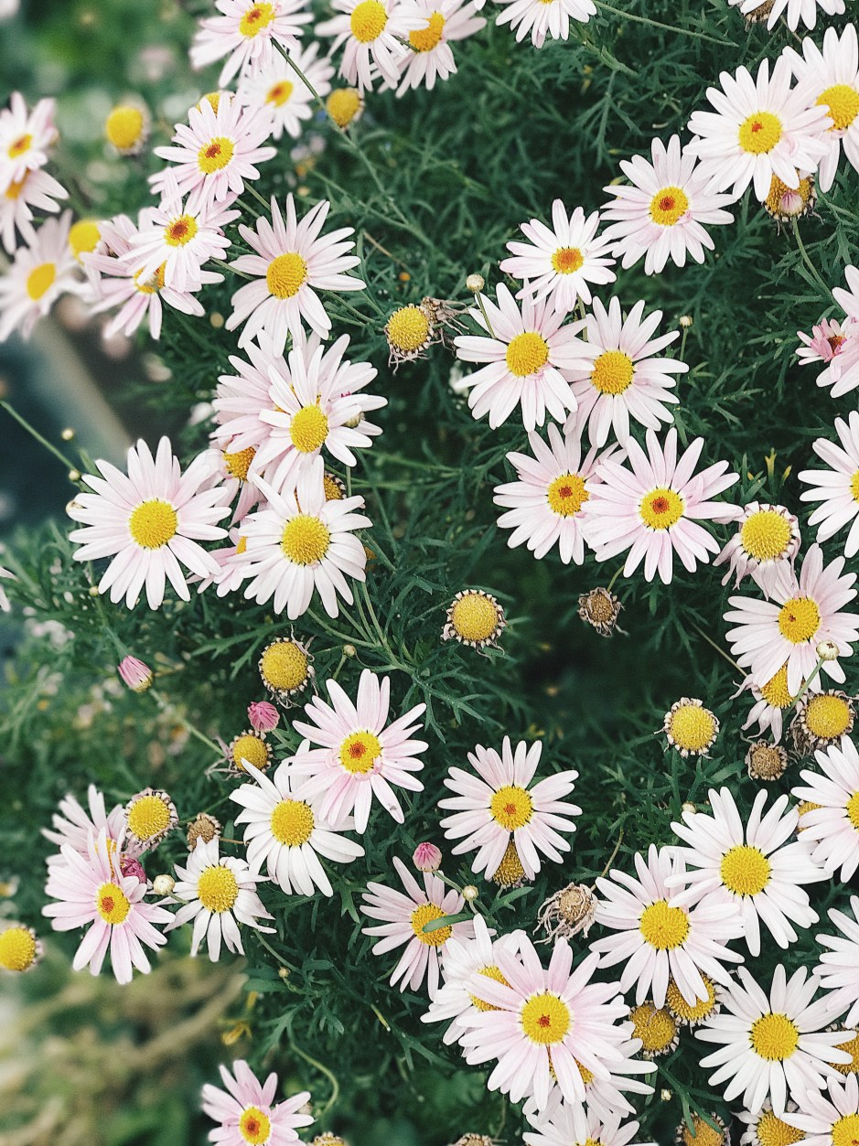 Background Cute Wallpaper Cluster Of Daisies 183 Free Stock Photo