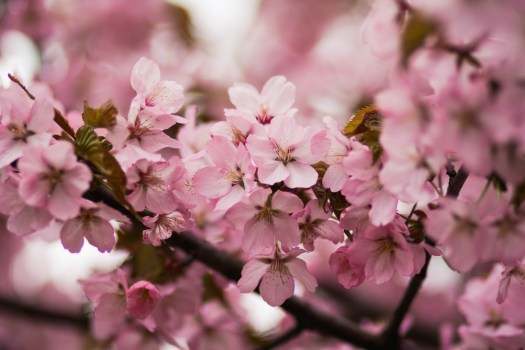 Cherry Blossom Wallpaper Pink Petaled Flower During Daytime · Free Stock Photo