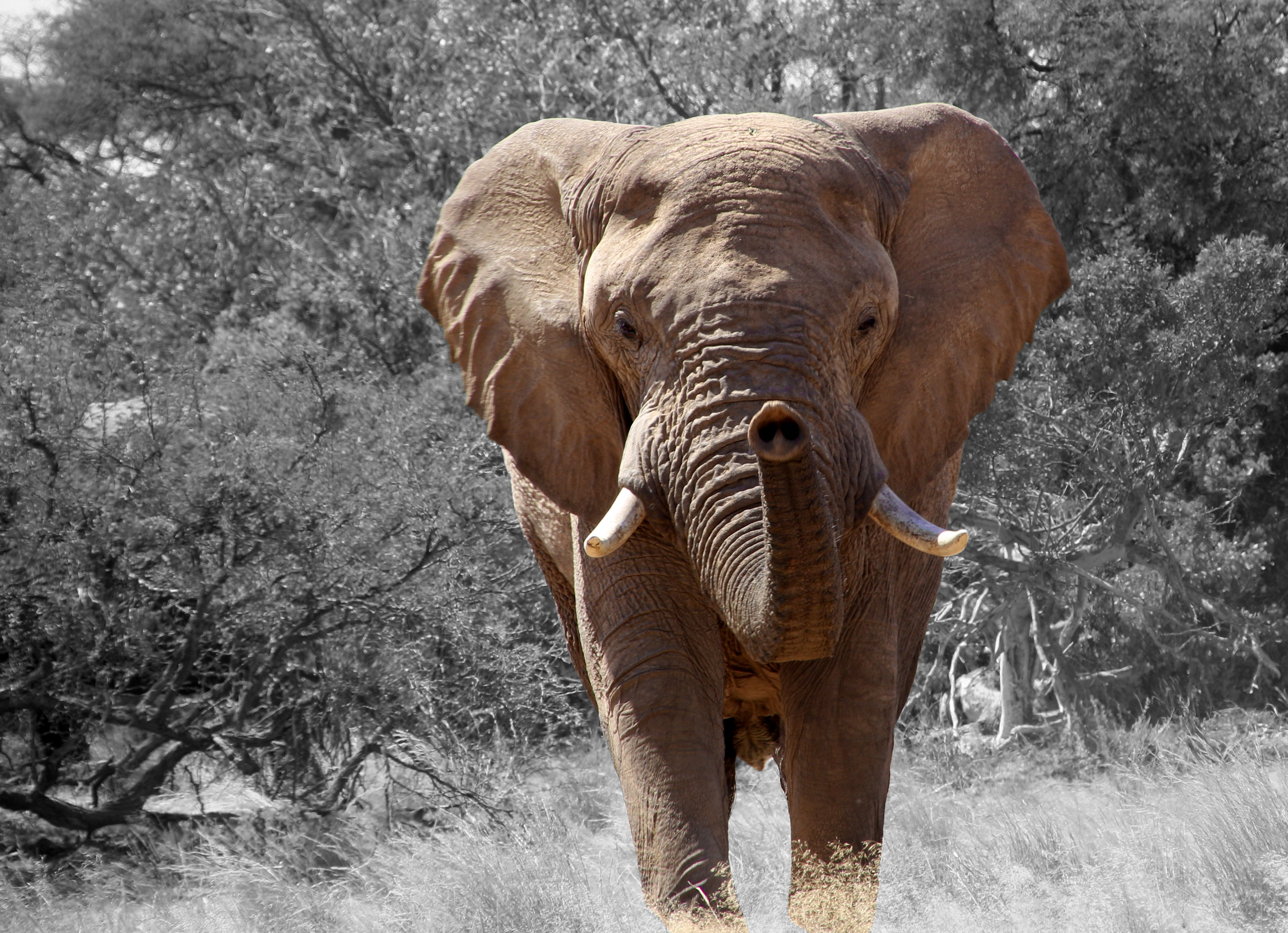 Beautiful Wallpapers For Iphone X Free Stock Photo Of Africa African Bush Elephant African