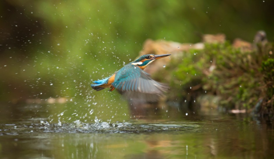 Exotic Animal Wallpaper Photo Of Common Kingfisher Flying Above River 183 Free Stock