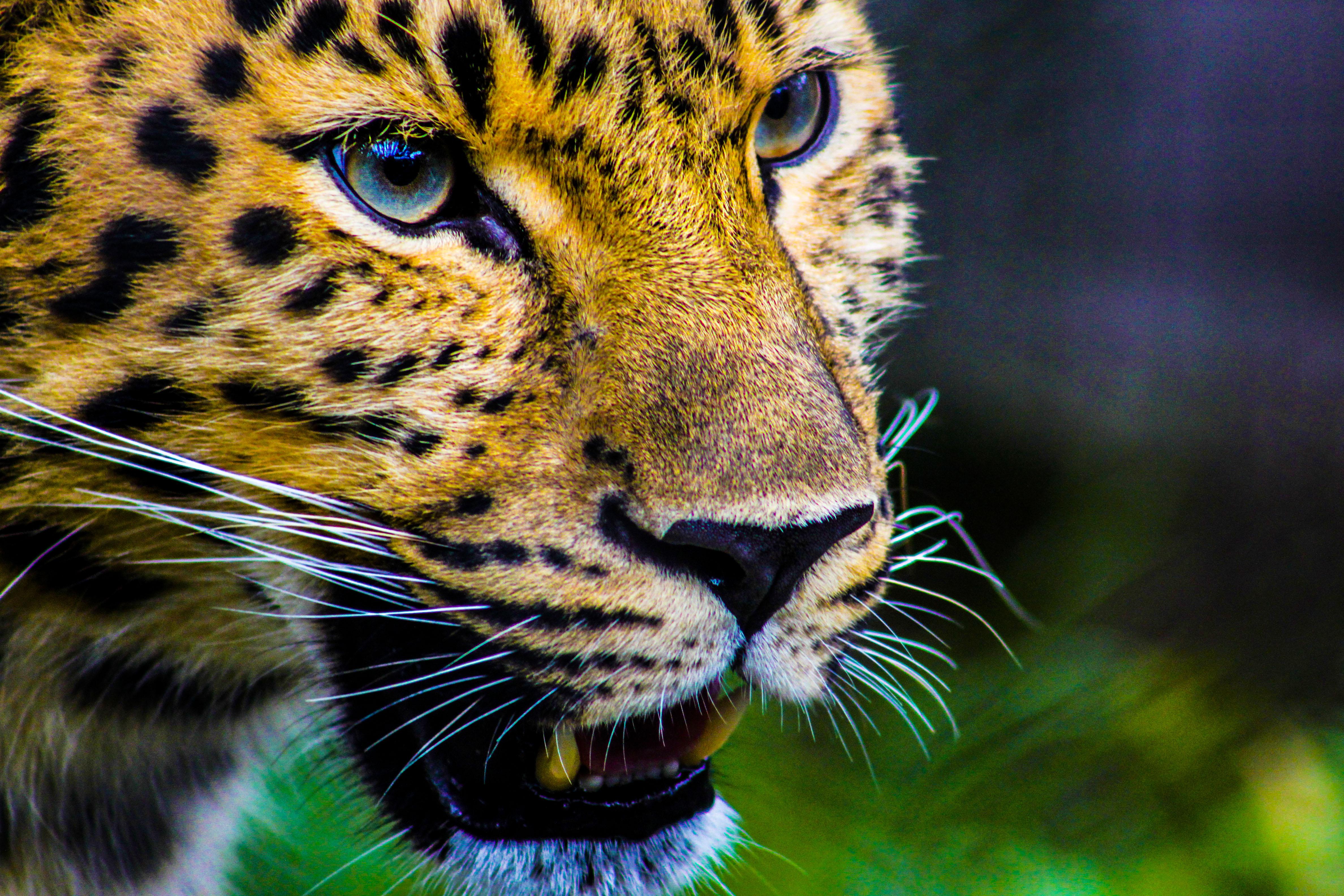Nature Wallpaper Hd And Car Tiger Animal 183 Free Stock Photo