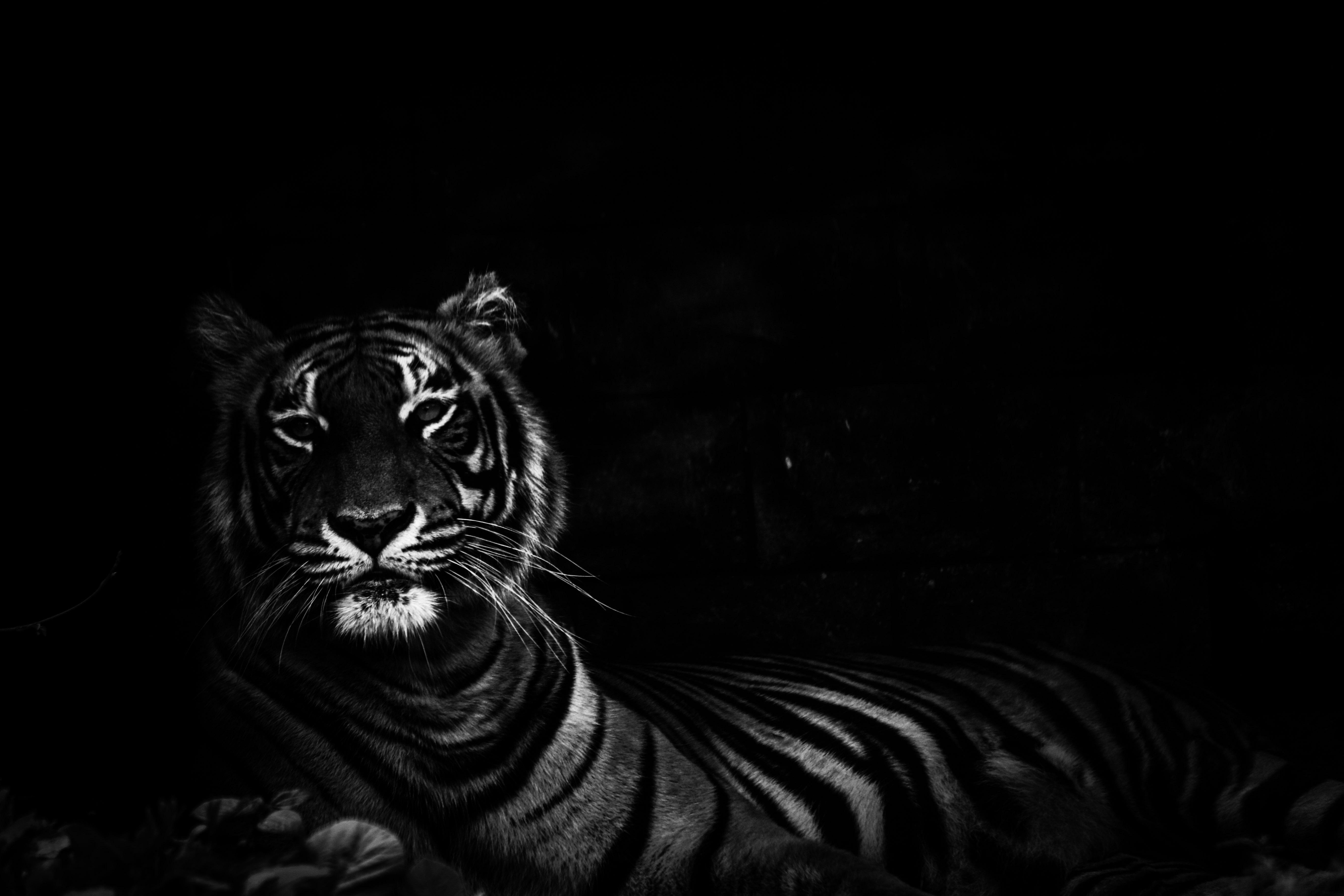 Lion Animal Wallpaper Free Stock Photo Of Animal Black Black Background