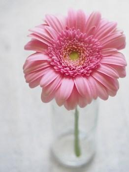 Peonies Wallpaper Iphone 6 1000 Great Pink Flower Photos 183 Pexels 183 Free Stock Photos