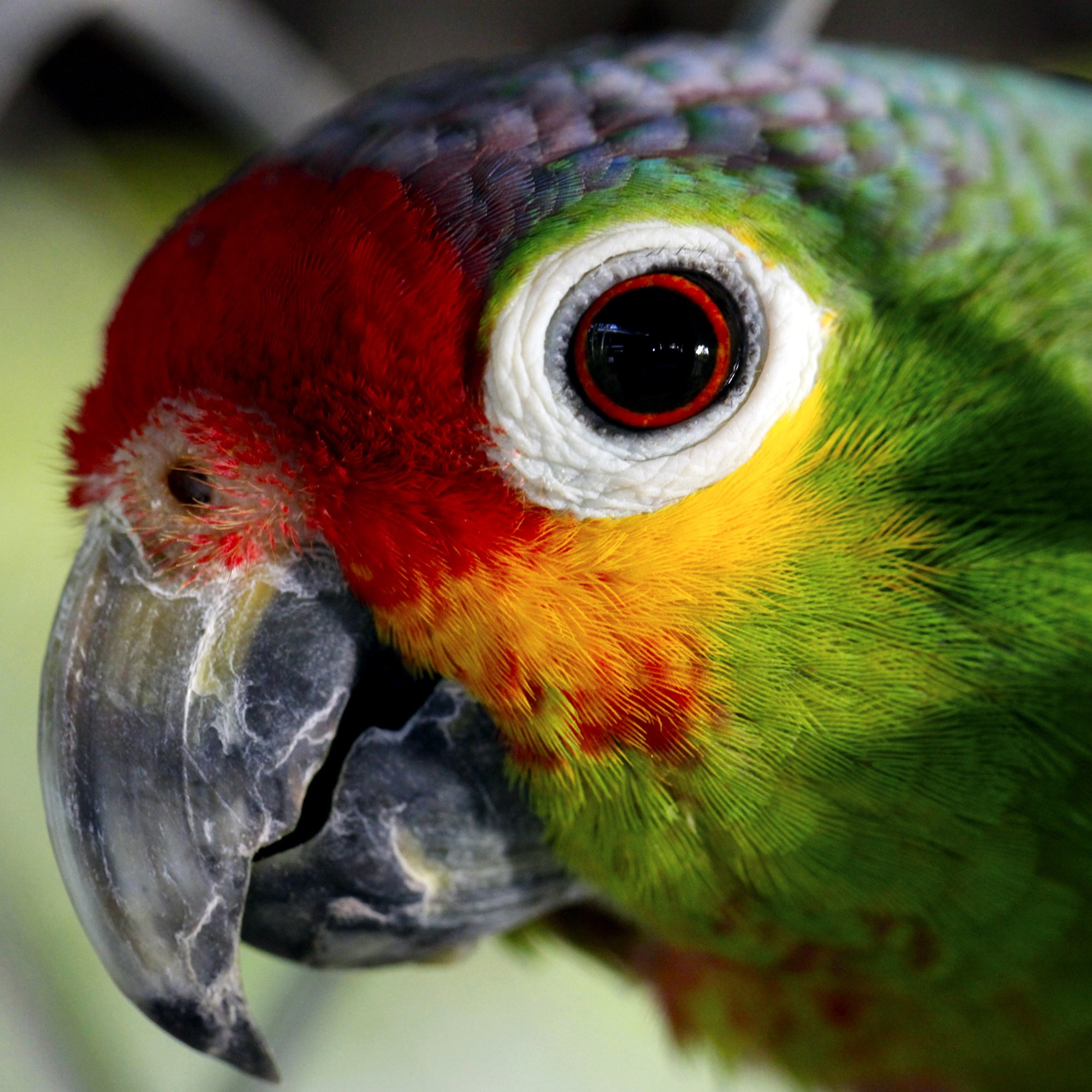 Lock Screen Wallpaper Hd Close Up Photo Of Green Red And Yellow Bird 183 Free Stock Photo