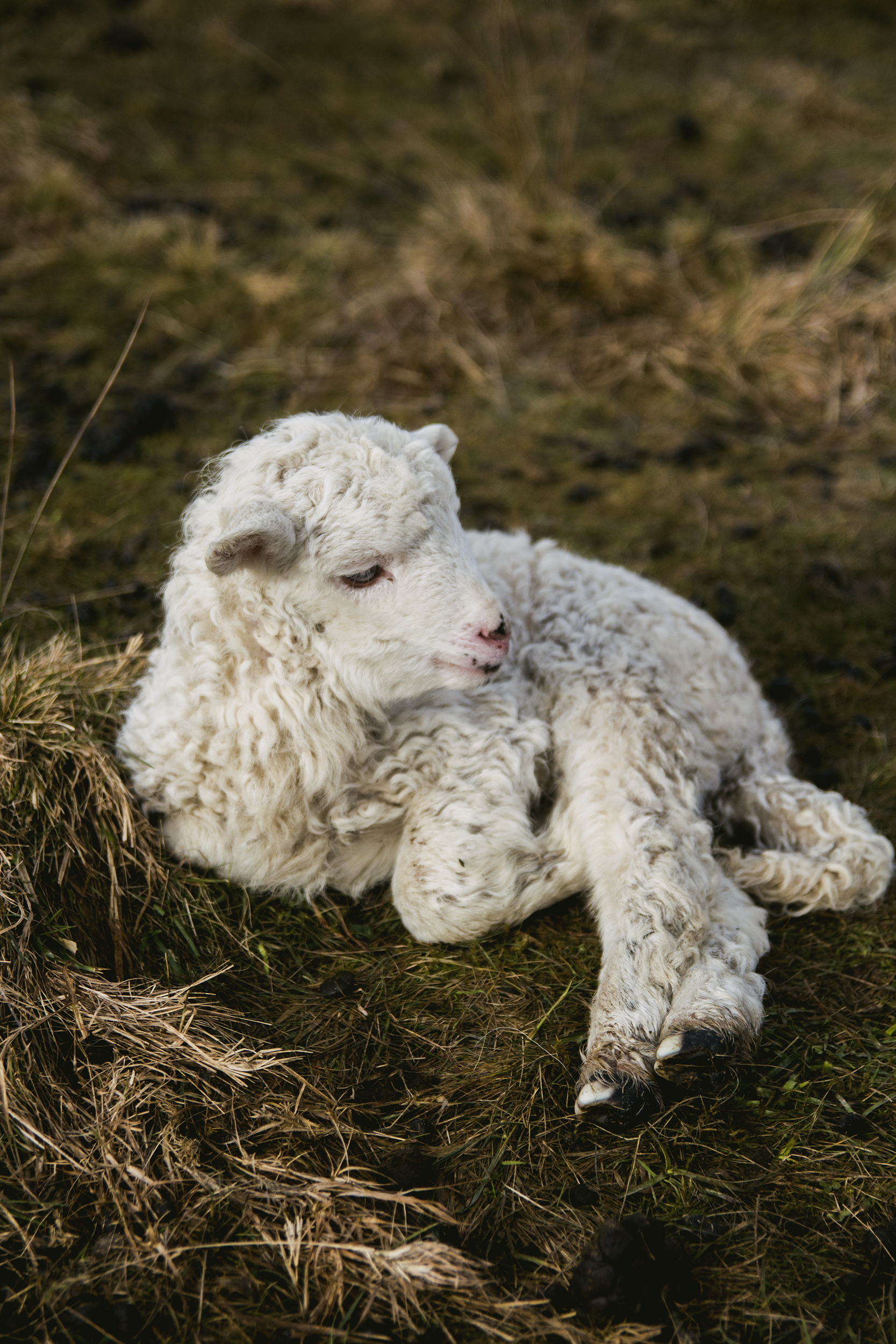 Love Wallpaper For Iphone 5 White Lamb Near Fence 183 Free Stock Photo